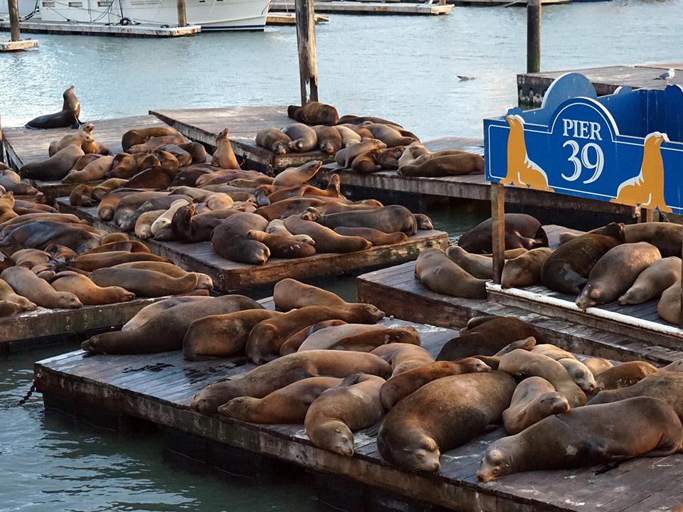 Sea Lions at Pier 39.jpg