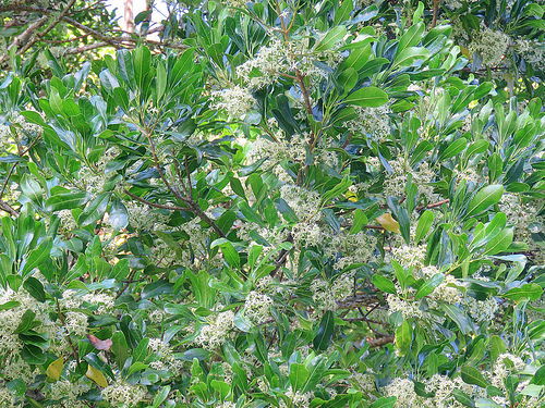 Achronychia flower 2.jpg