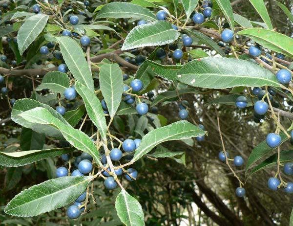 Bluberry Ash fruit.jpg