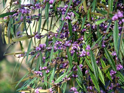 Hovea Flower.jpg