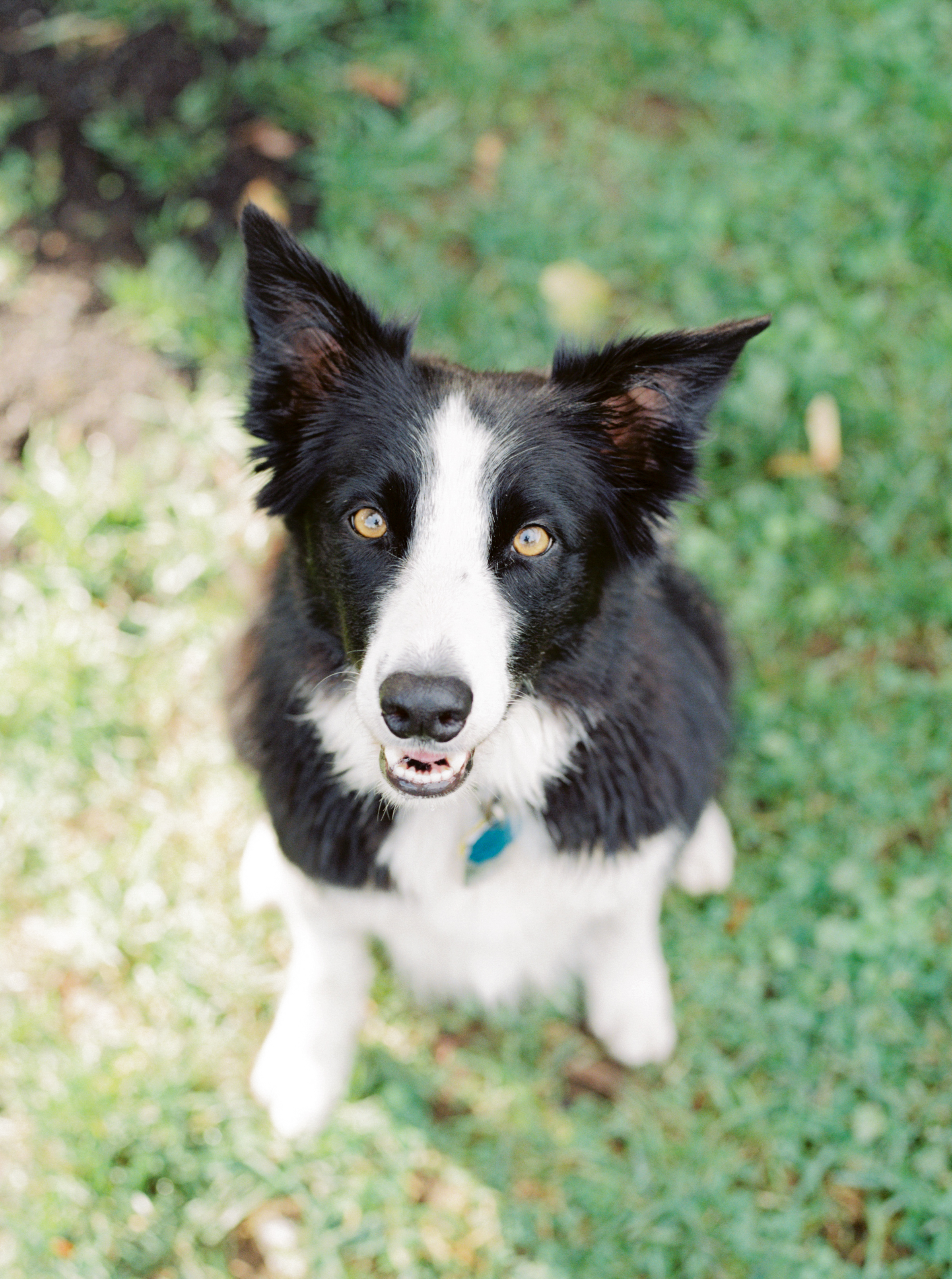 Happy border collie puppy dog with perky ears