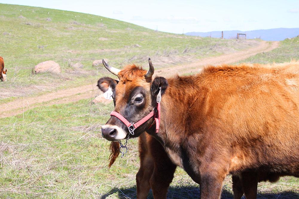 Farm-Cow-2.JPG