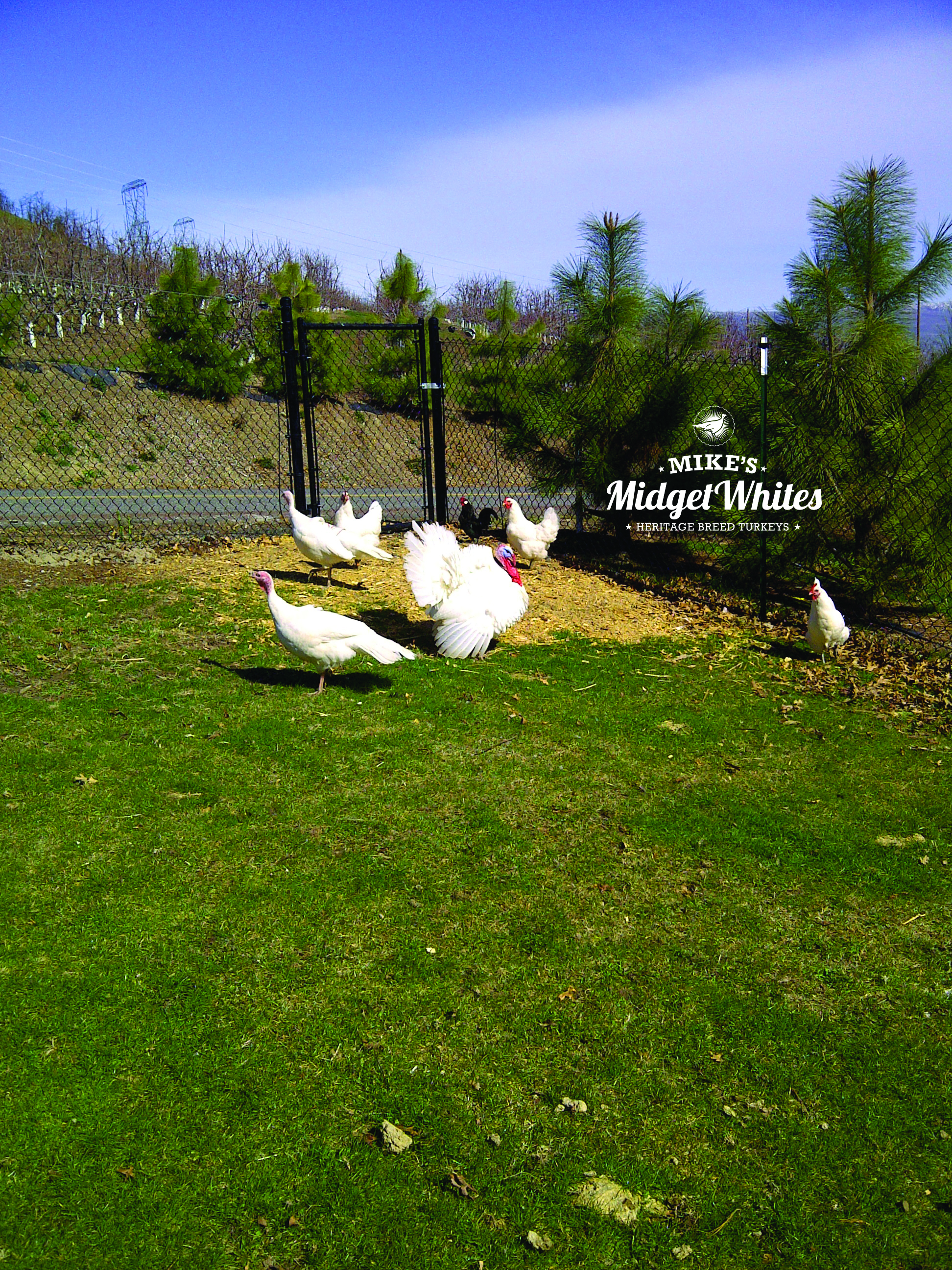 Mikes-Midget-Whites-Backyard-Hens-Tom-and-Chickens.jpg