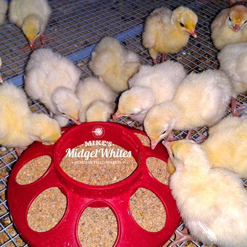 Mikes-Midget-Whites-turkeys-chicks-poults-feeding.jpg