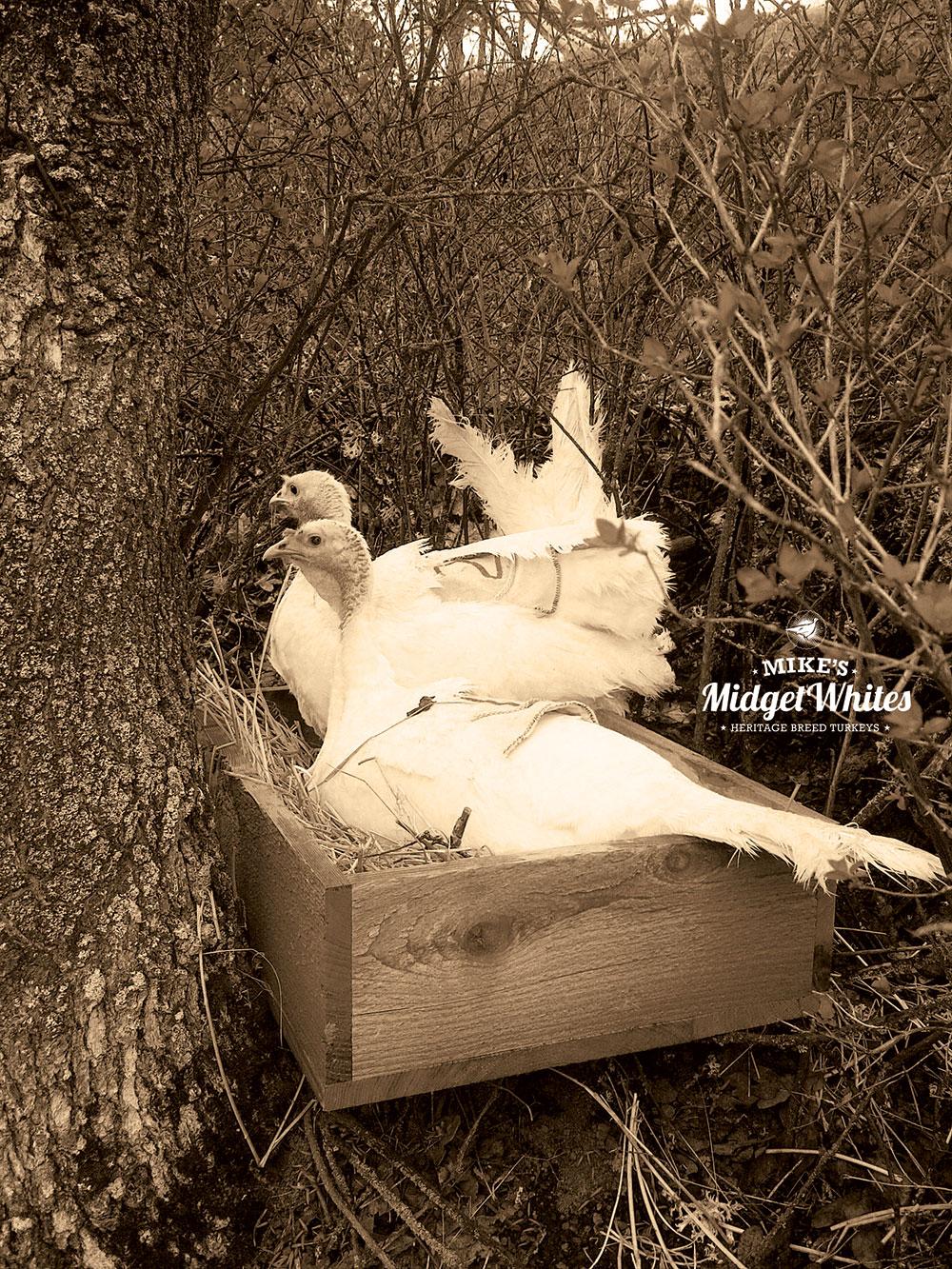 Mikes-Midget-White-Turkey-Hens-Nesting-in-Tree.jpg