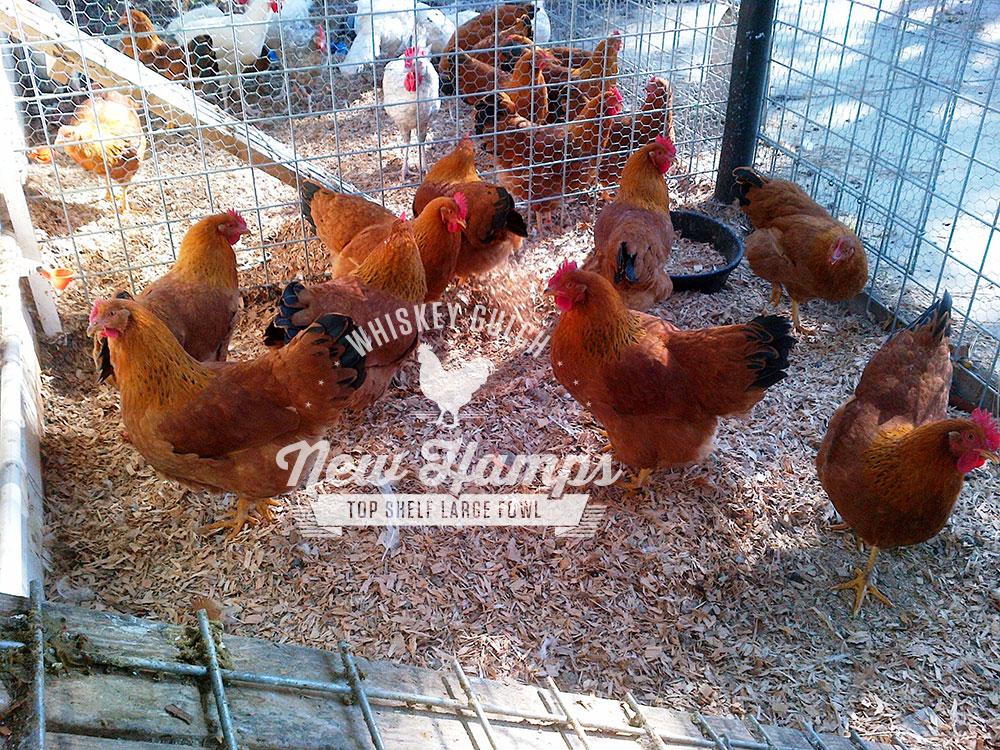 new-hamp-chicken-hens-02.jpg
