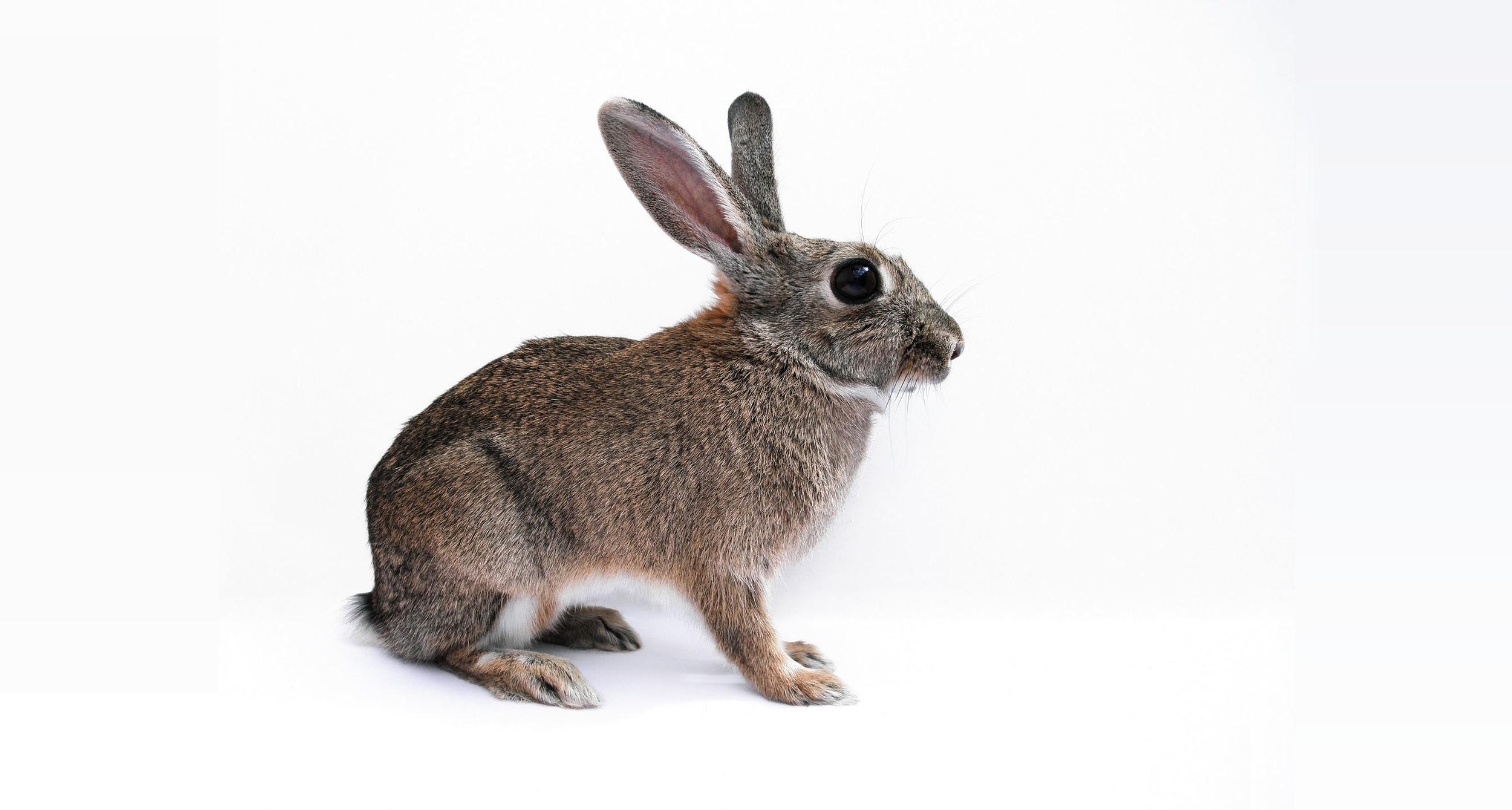 rabbit-.jpg