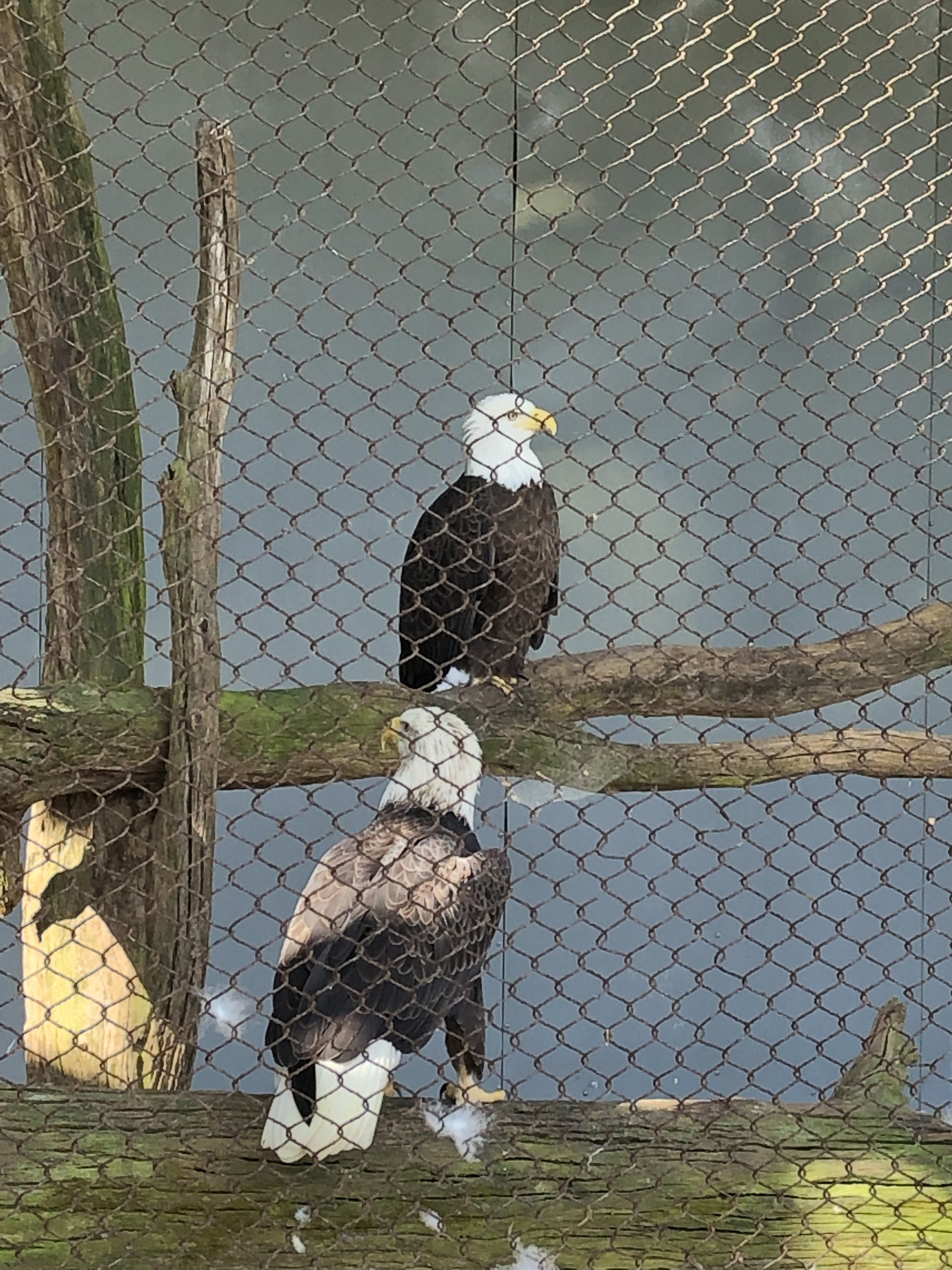 Two female bald eagles.