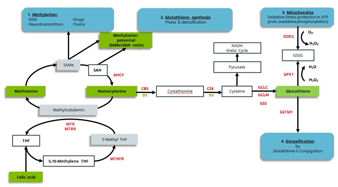 """From Cell Science Systems: Homocysteine, donor for methyl groups in methylation and precursor in glutathione biosynthesis, important in mitochondrial oxidative stress prevention and phase II detoxification.   """"Simplified presentation of the connection between methylation, homocysteine/methionine balance, glutathione synthesis, mitochondrial oxidative stress in oxidative phosphorylation and detoxification by glutathione conjugation.""""6"""