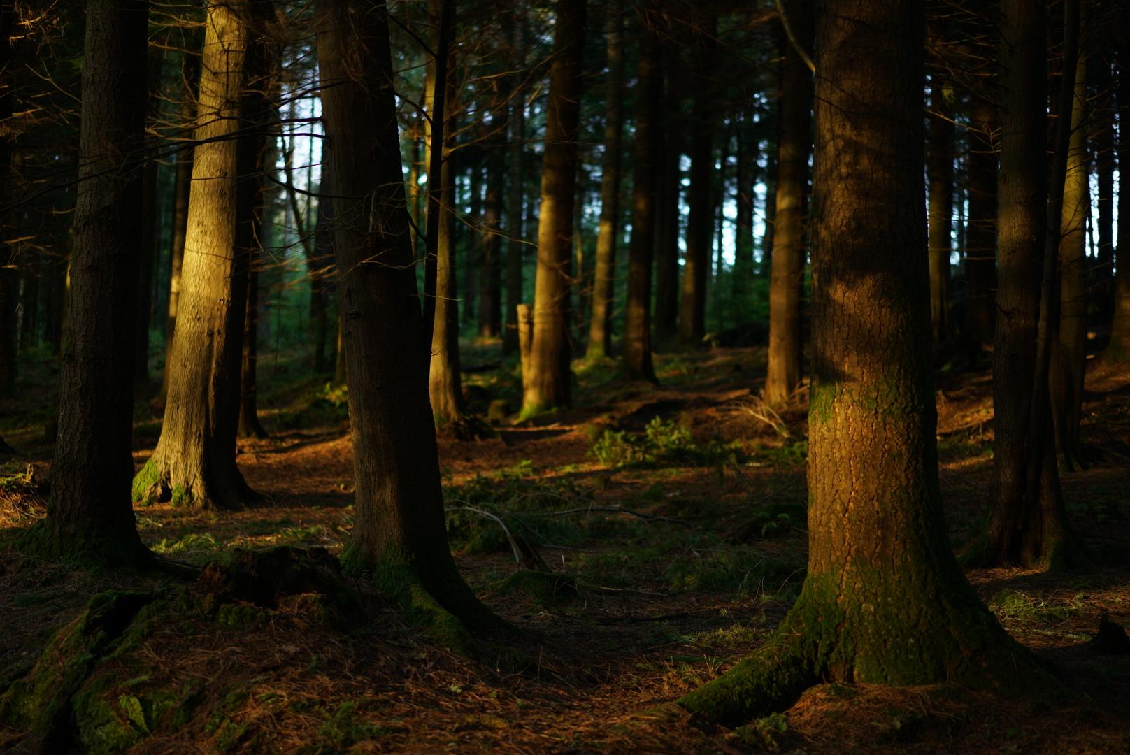 Glengarra Woods at Sunset -