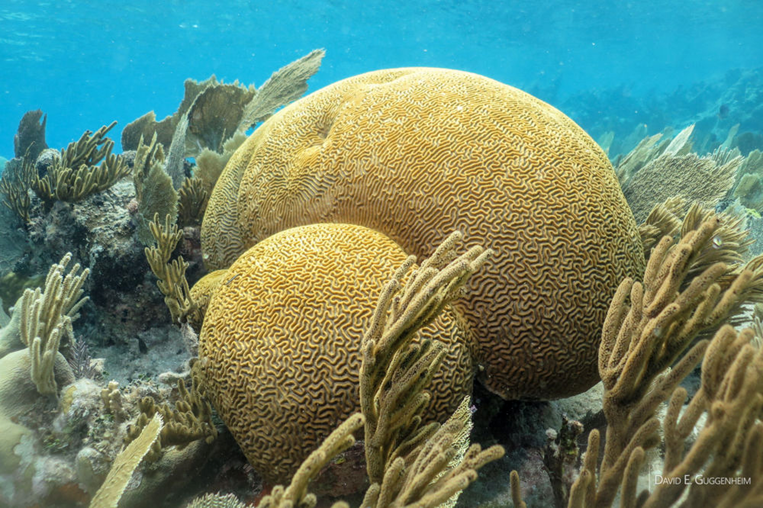 A healthy stand of brain coral and soft corals off Cuba's southern coast. Photo credit: David E. Guggenheim ©