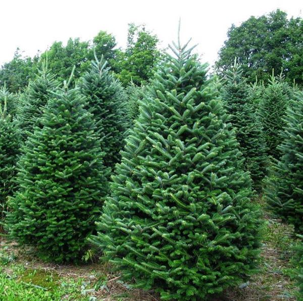 0000018_fraser-fir-christmas-tree_600.jpeg