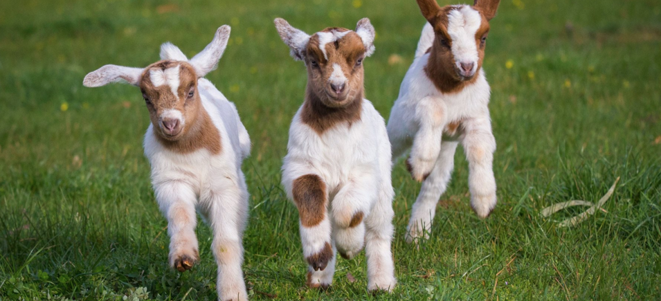 Petting Farm Atlantic Farms