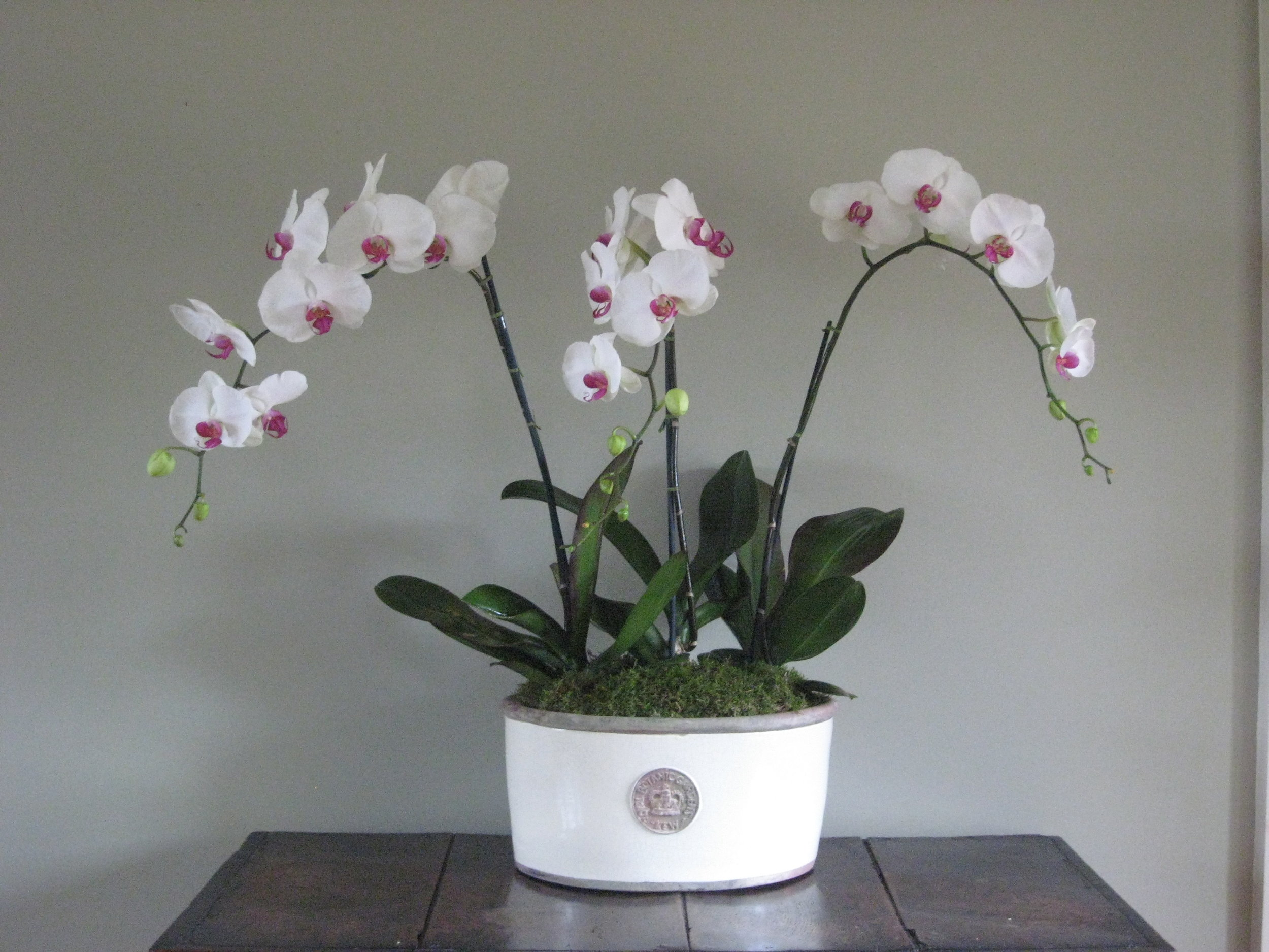 - Large Ivory Oval Bowl planted with 3 single stemmed Orchids - £159