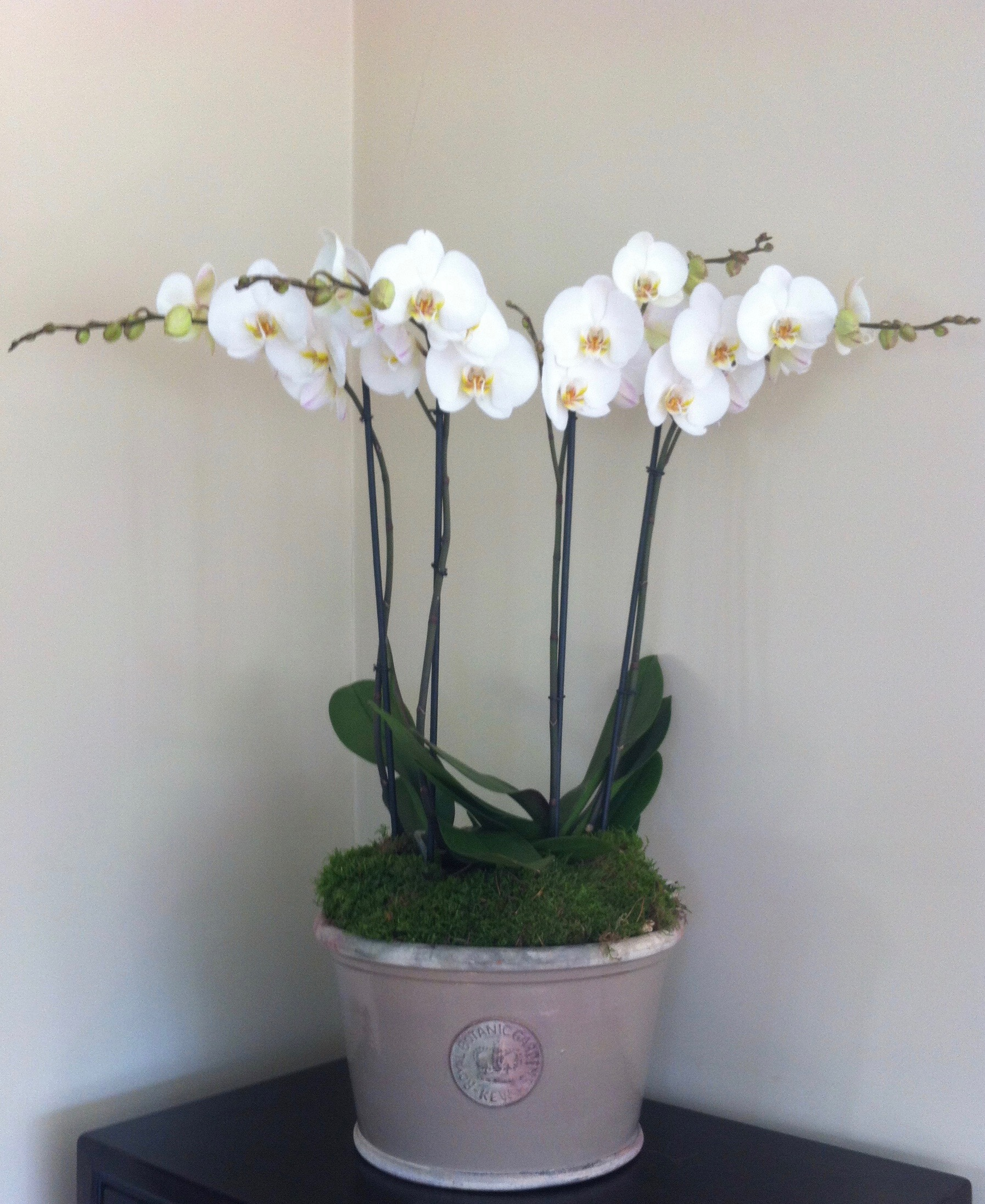 Medium straight-sided Kew bowl planted with two double stemmed white orchids - £95 -