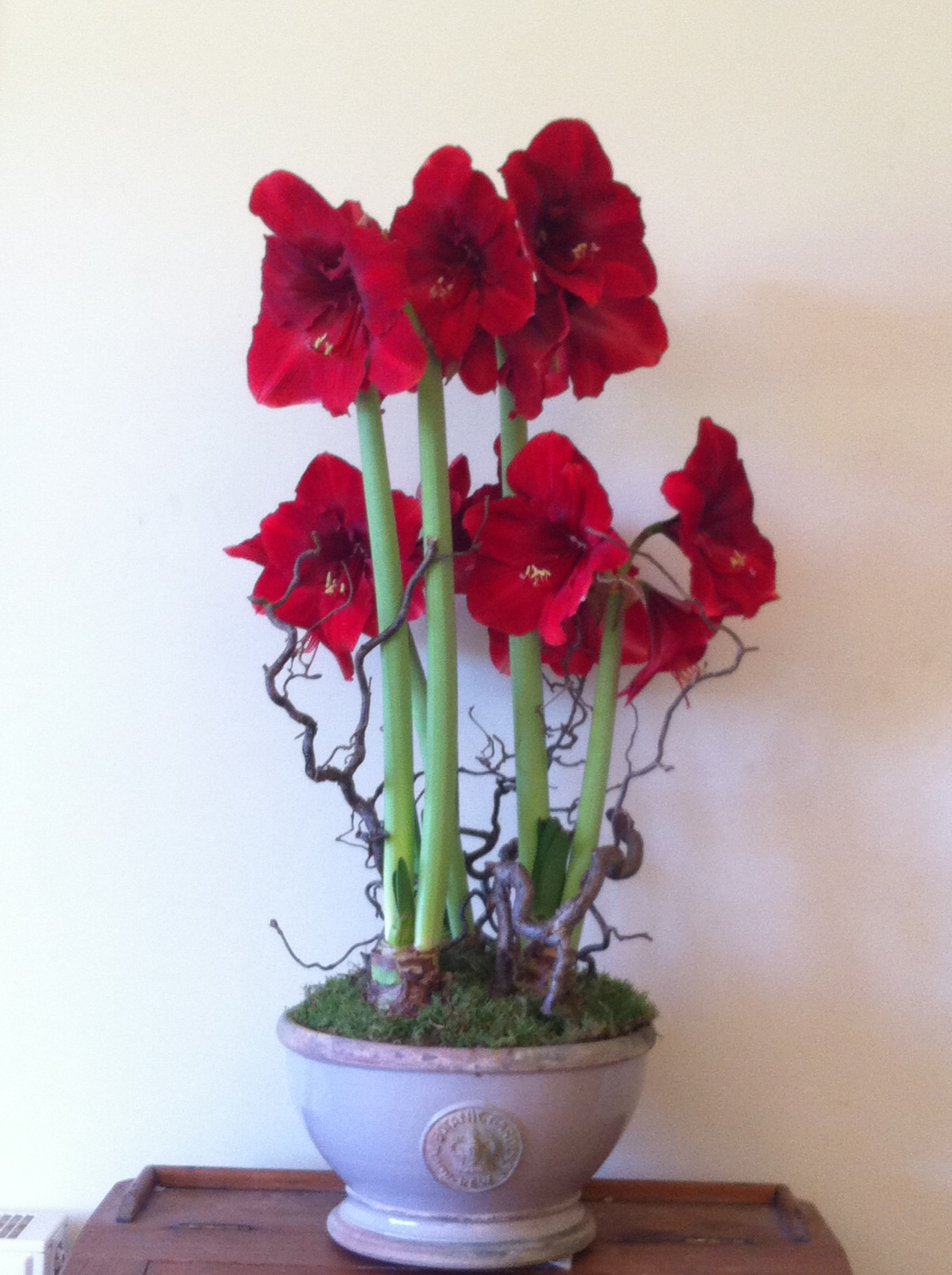 - Large Almond Kew bowl planted with 3 Amaryllis. Only available for Christmas -£95