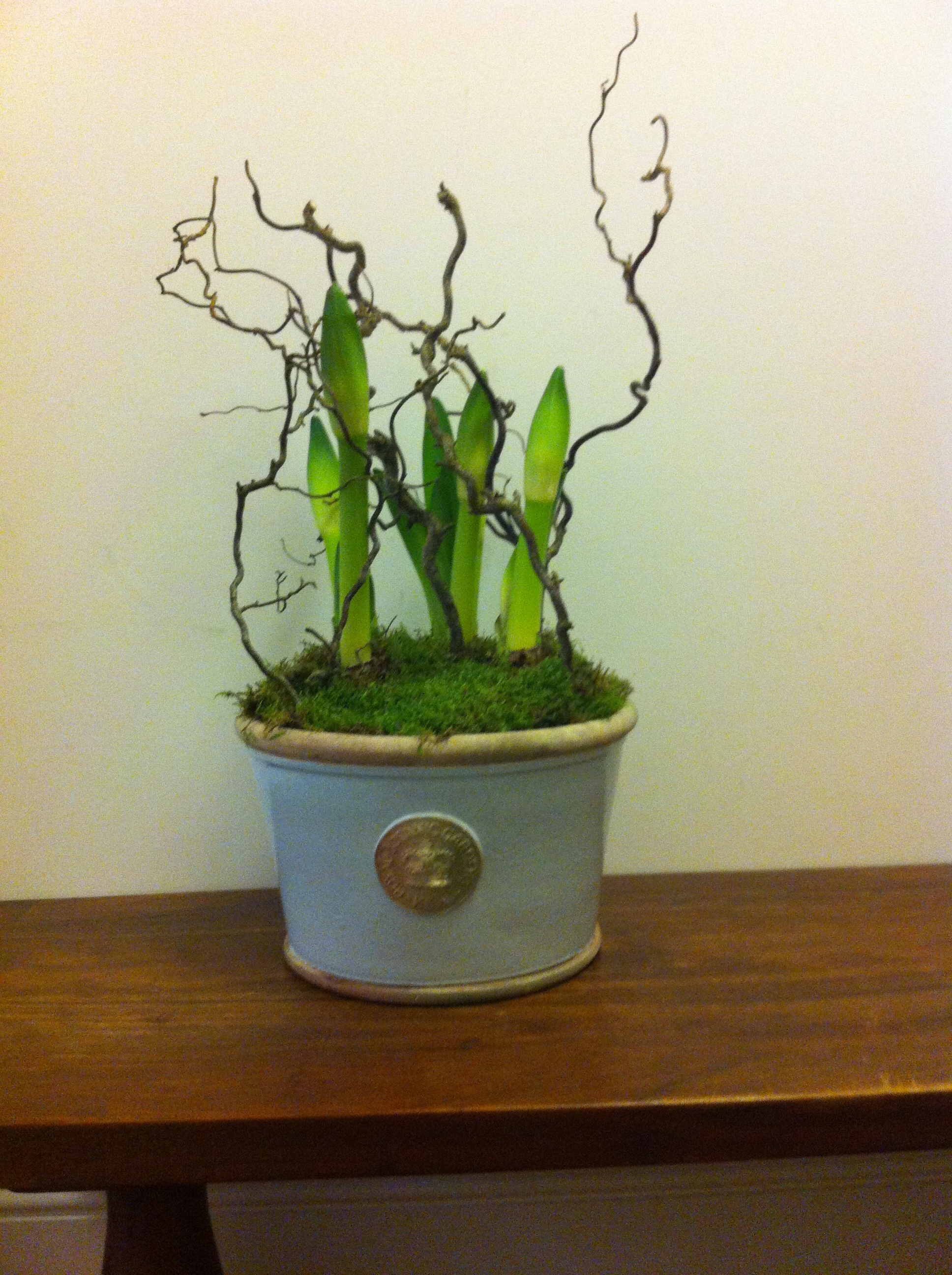 Large Powder blue Kew bowl planted with 3 Amaryllis. Only available for Christmas -£95
