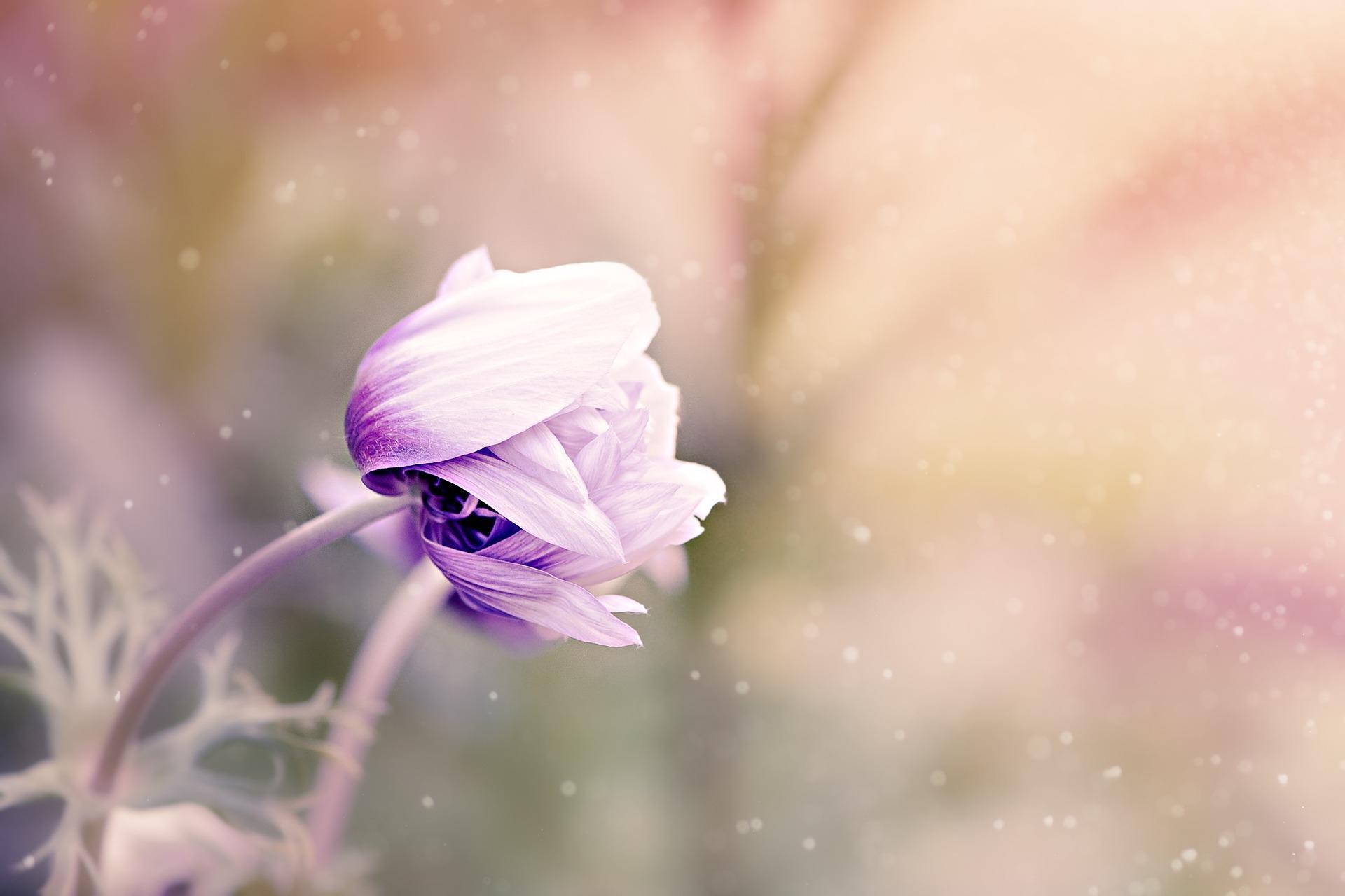 anemone-1533515_1920.jpg