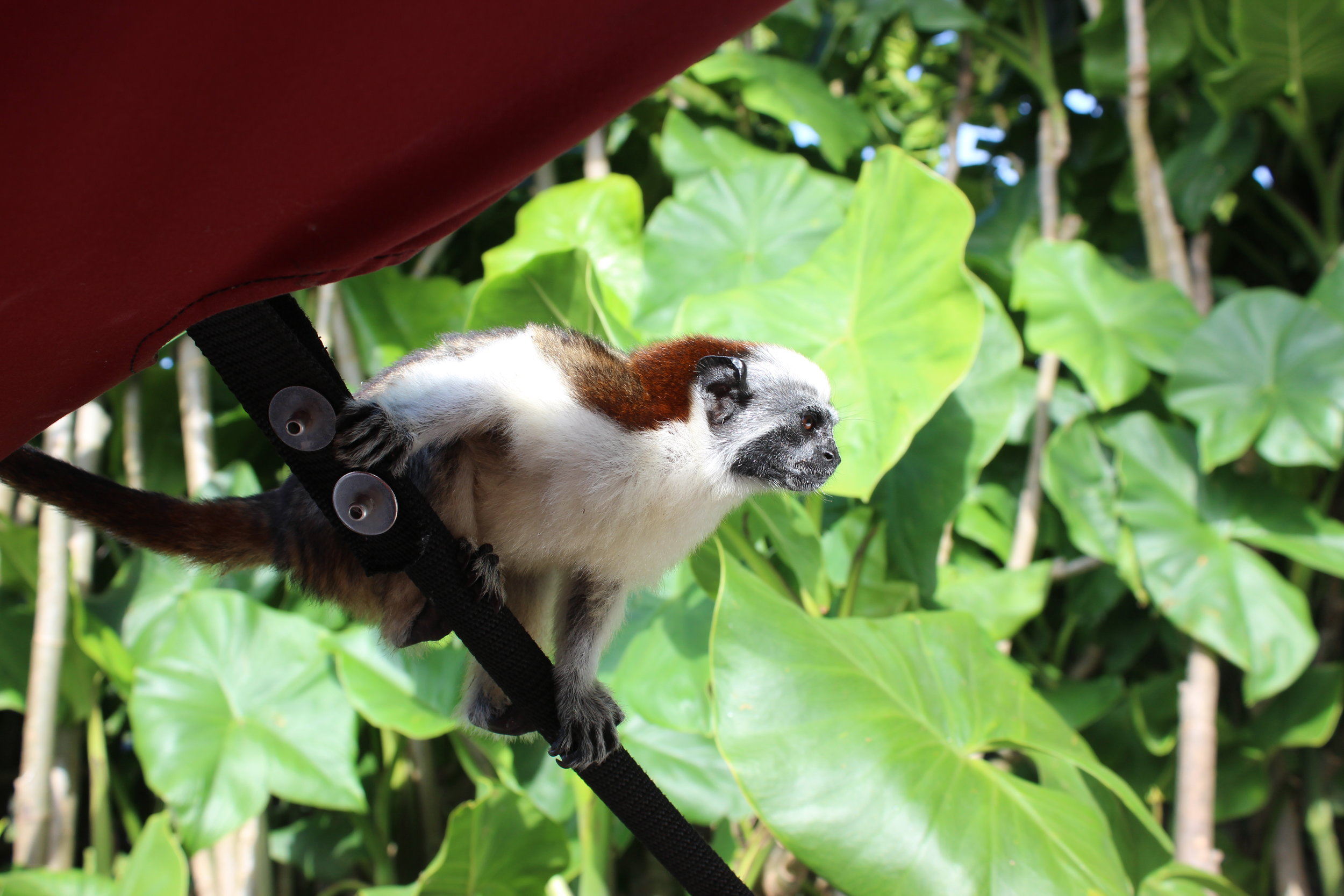 Monkeys in Gatun Lake