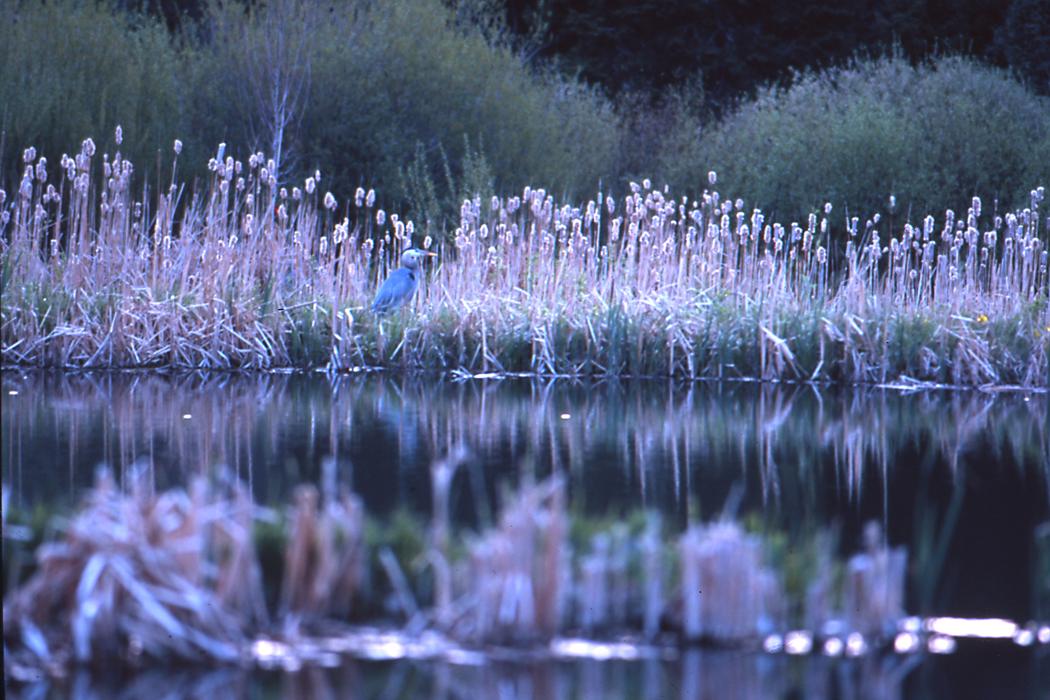 crane in reeds_sm.jpg