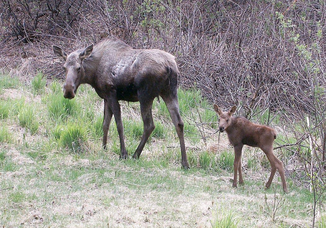 fws.bowman.moose-cow-and-calf.jpg