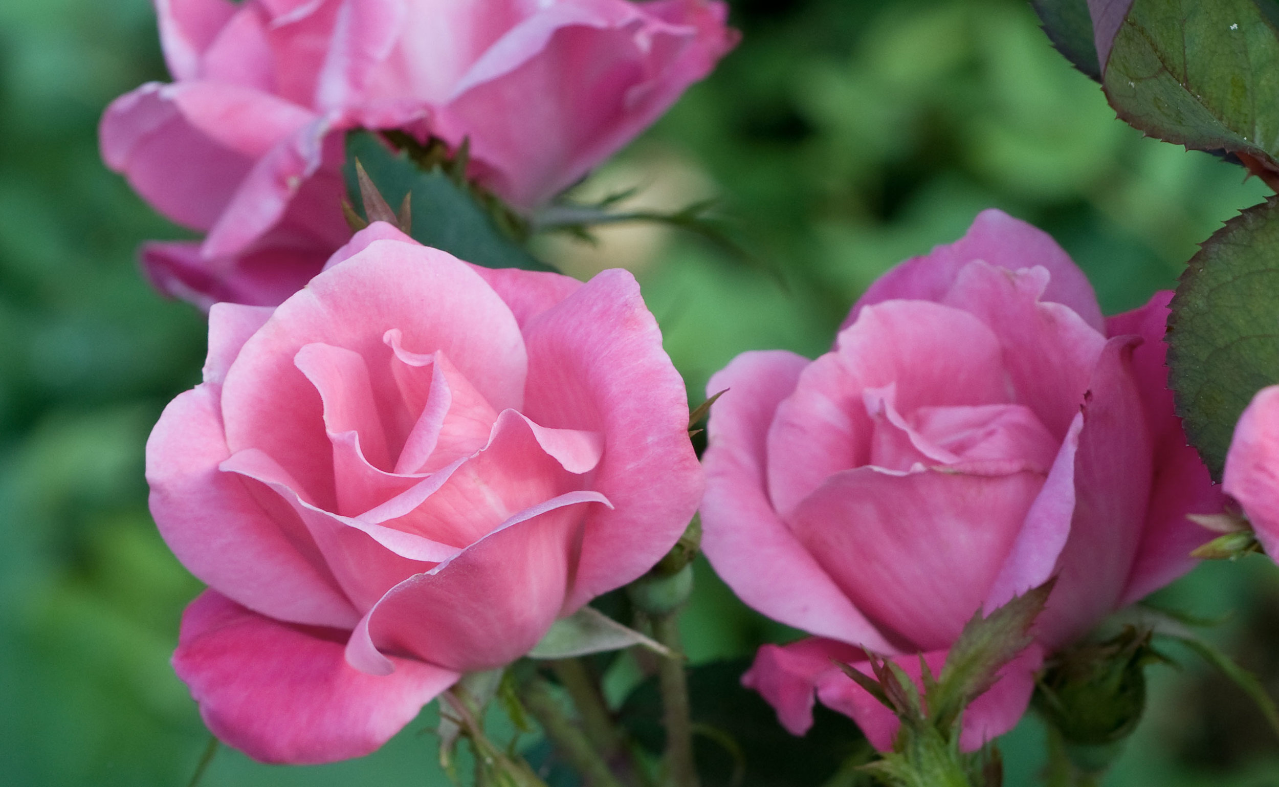 The Pink Knock Out® Rose — The Knock Out® Family of Roses