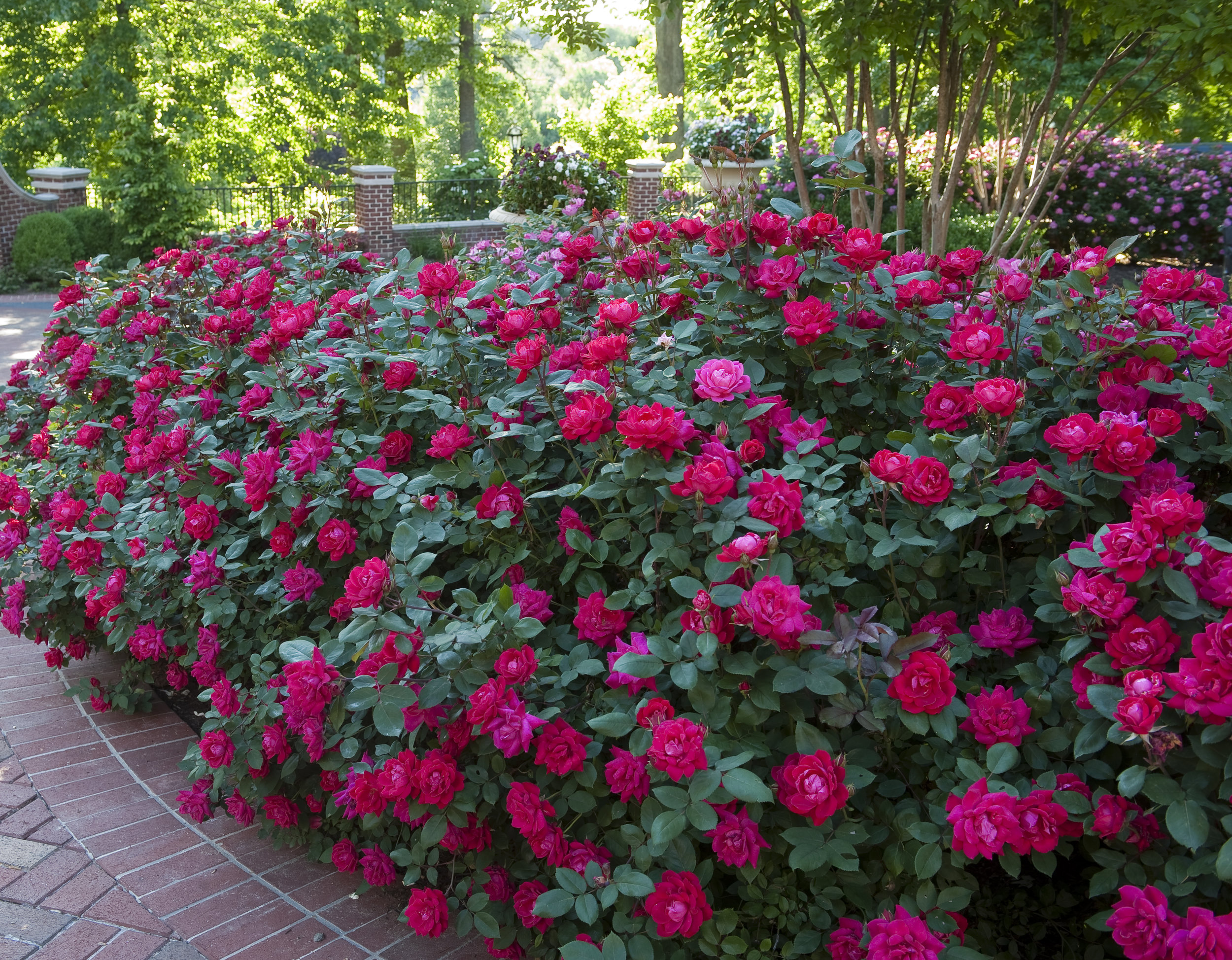 Pruning The Knock Out Family Of Roses
