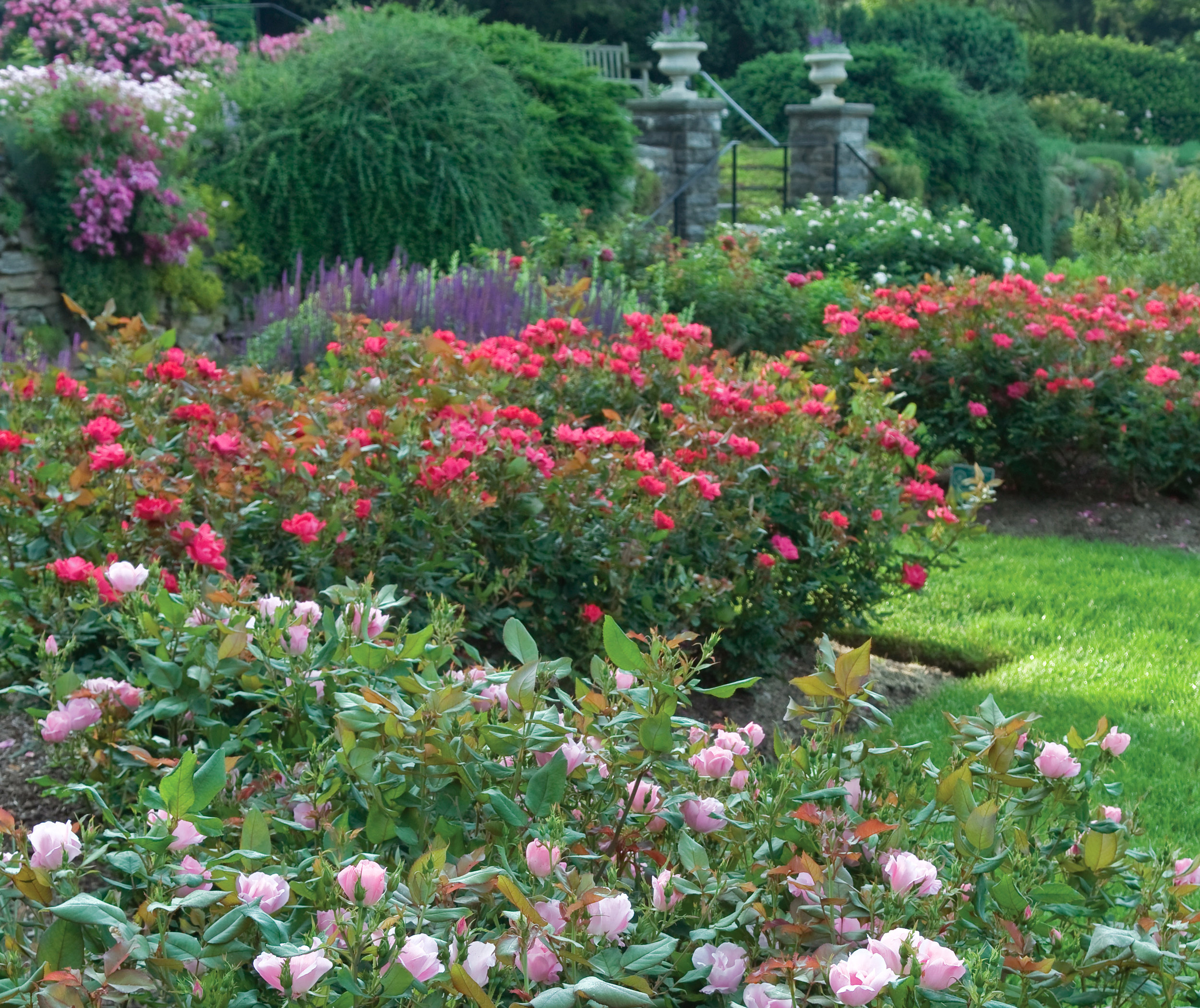 Gardening For Curb Appeal The Knock Out Family Of Roses