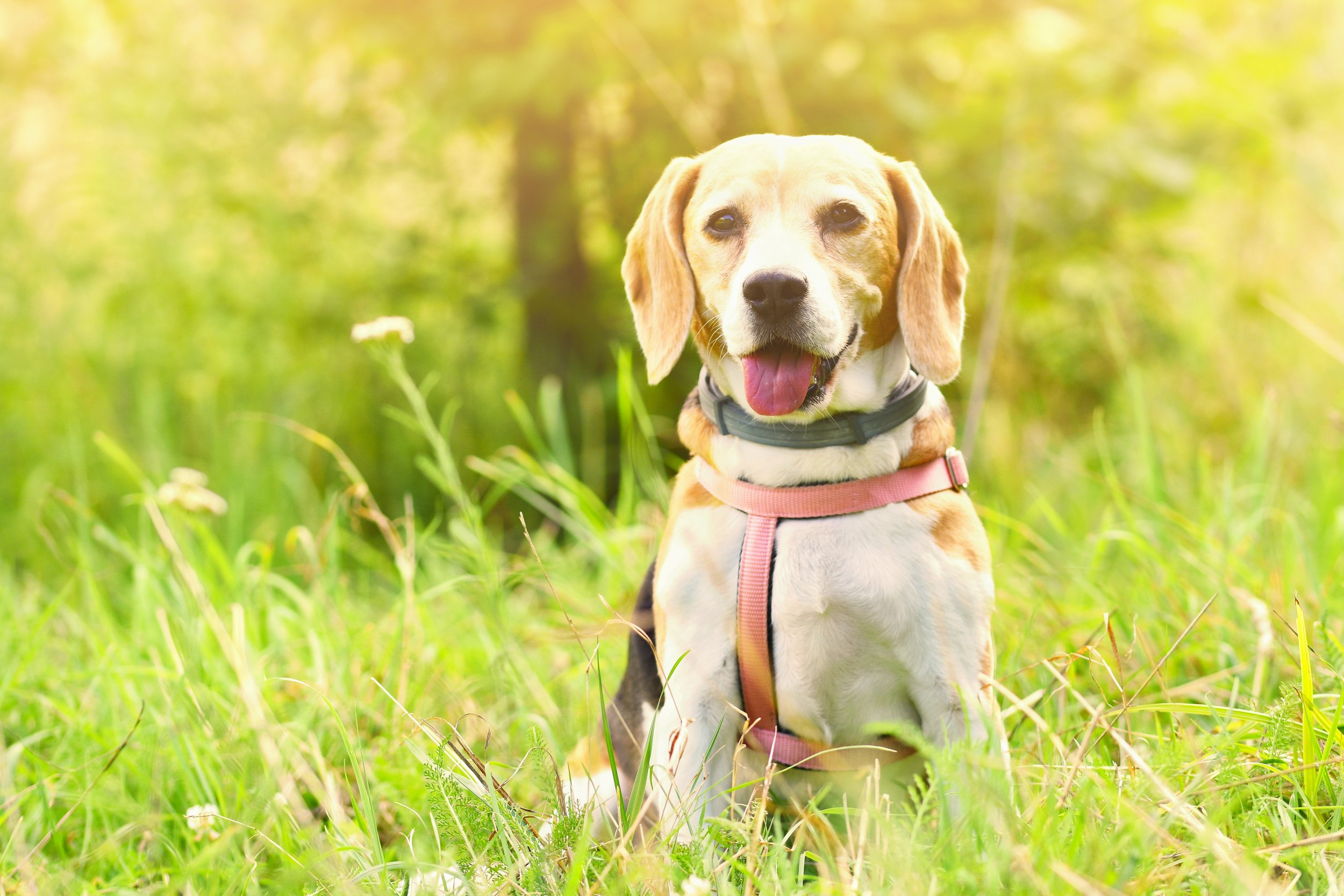 cute dog outside grass with sun.jpg