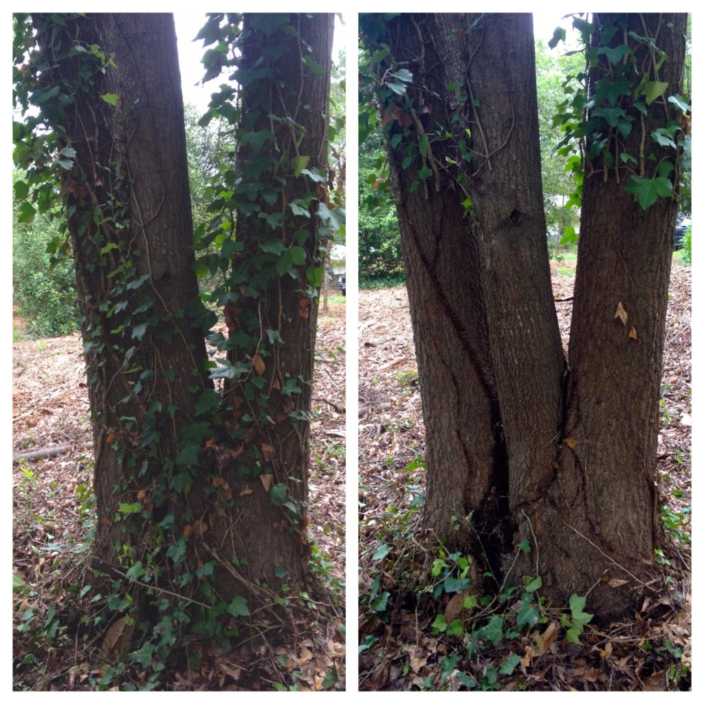 Ivy Girdling,  Before and After