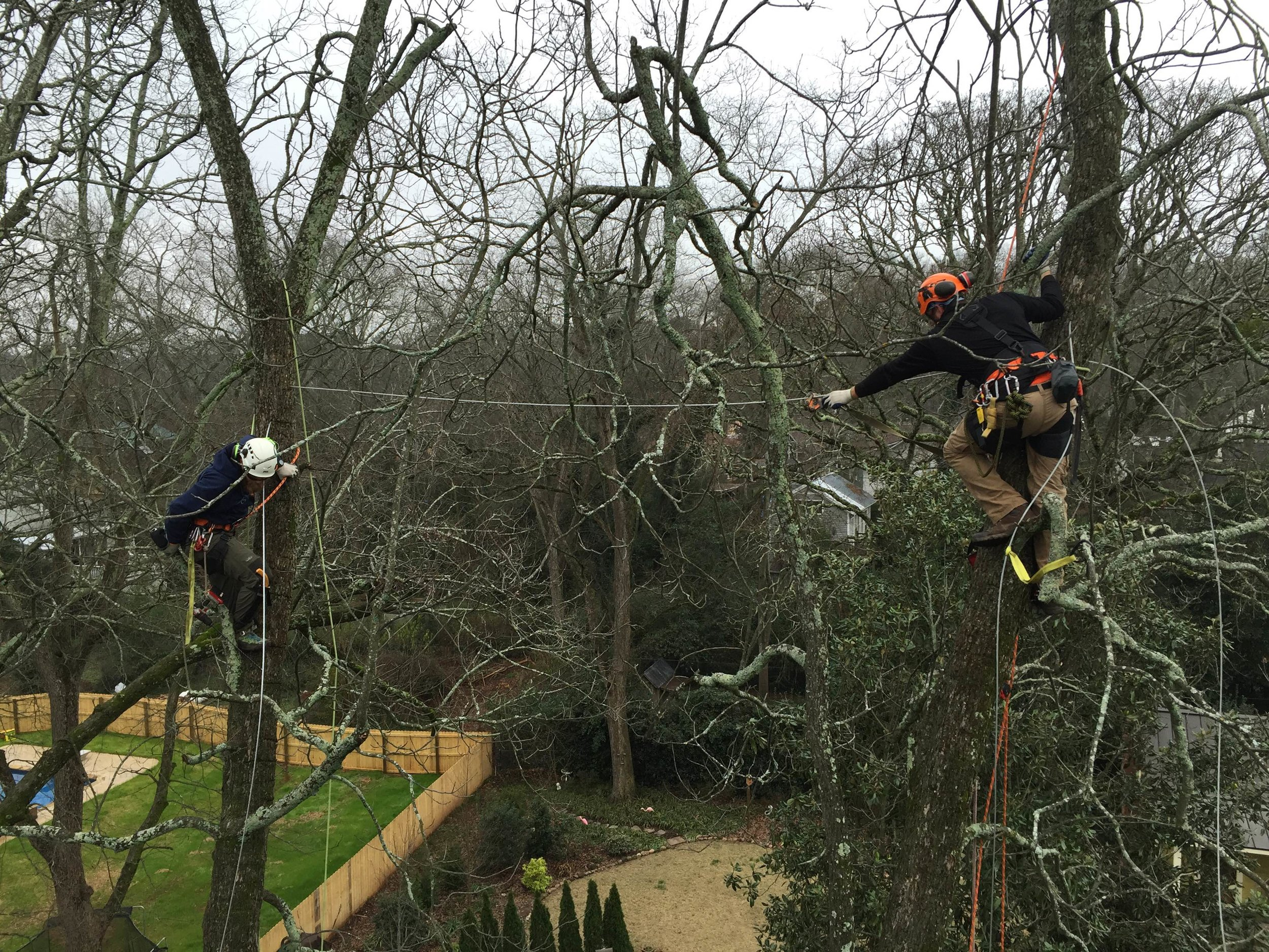 New Urban Forestry employees work together to properly install a tree cable