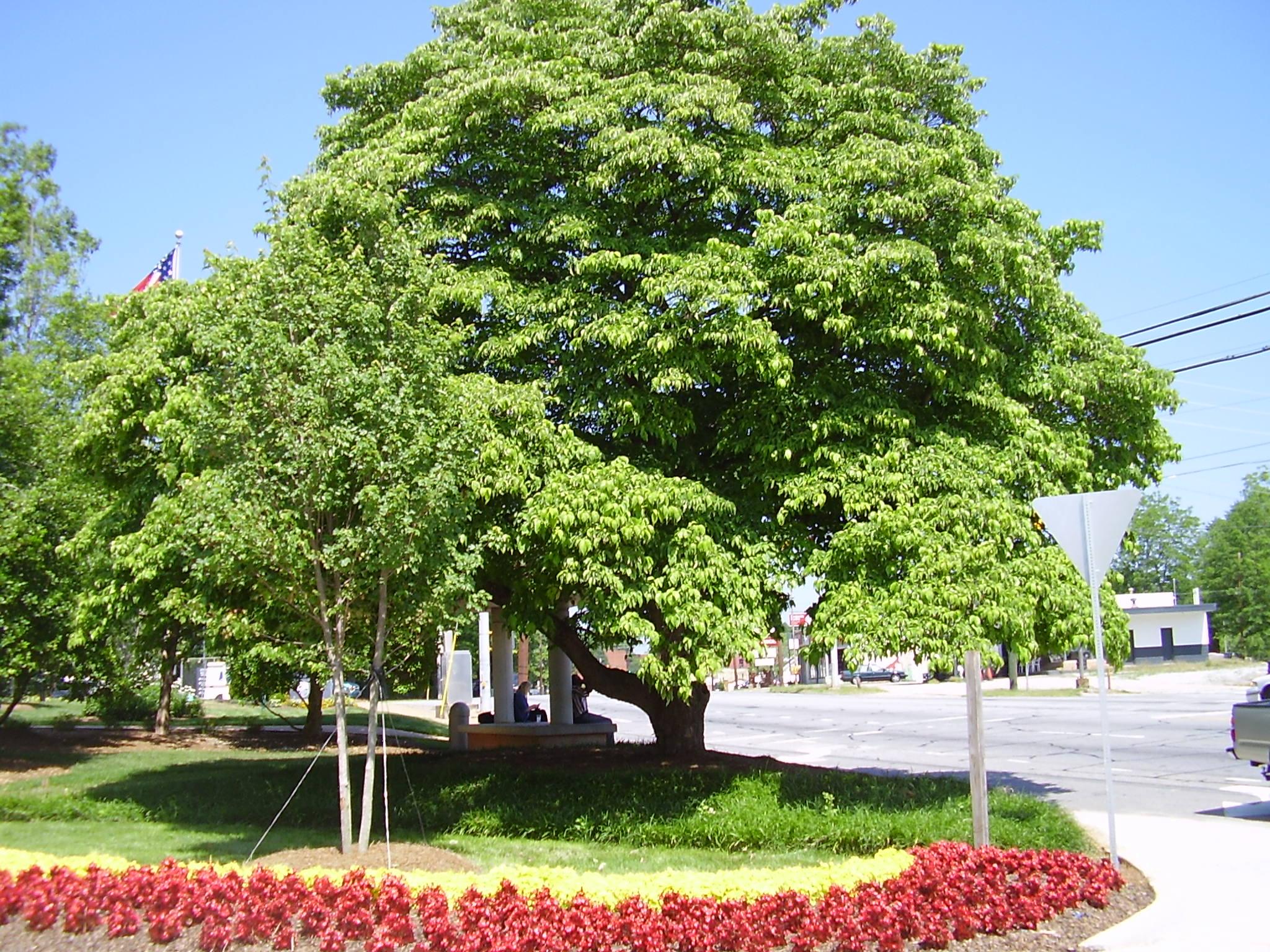 Flowering dogwood formerly at Athens Regional Medical Center