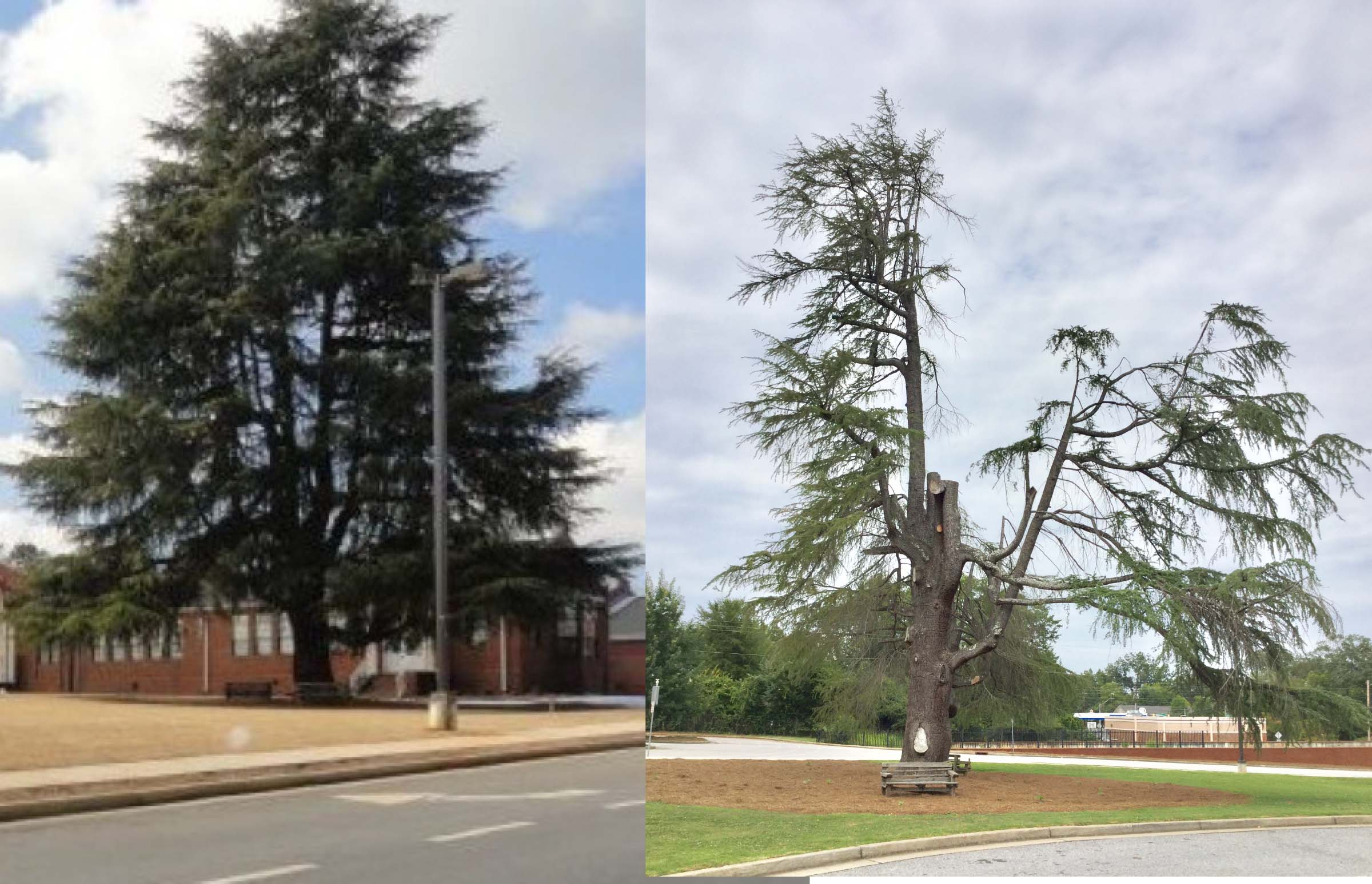 The Deodar Cedar located at Chase Street Elementary before and after the lightning strike.
