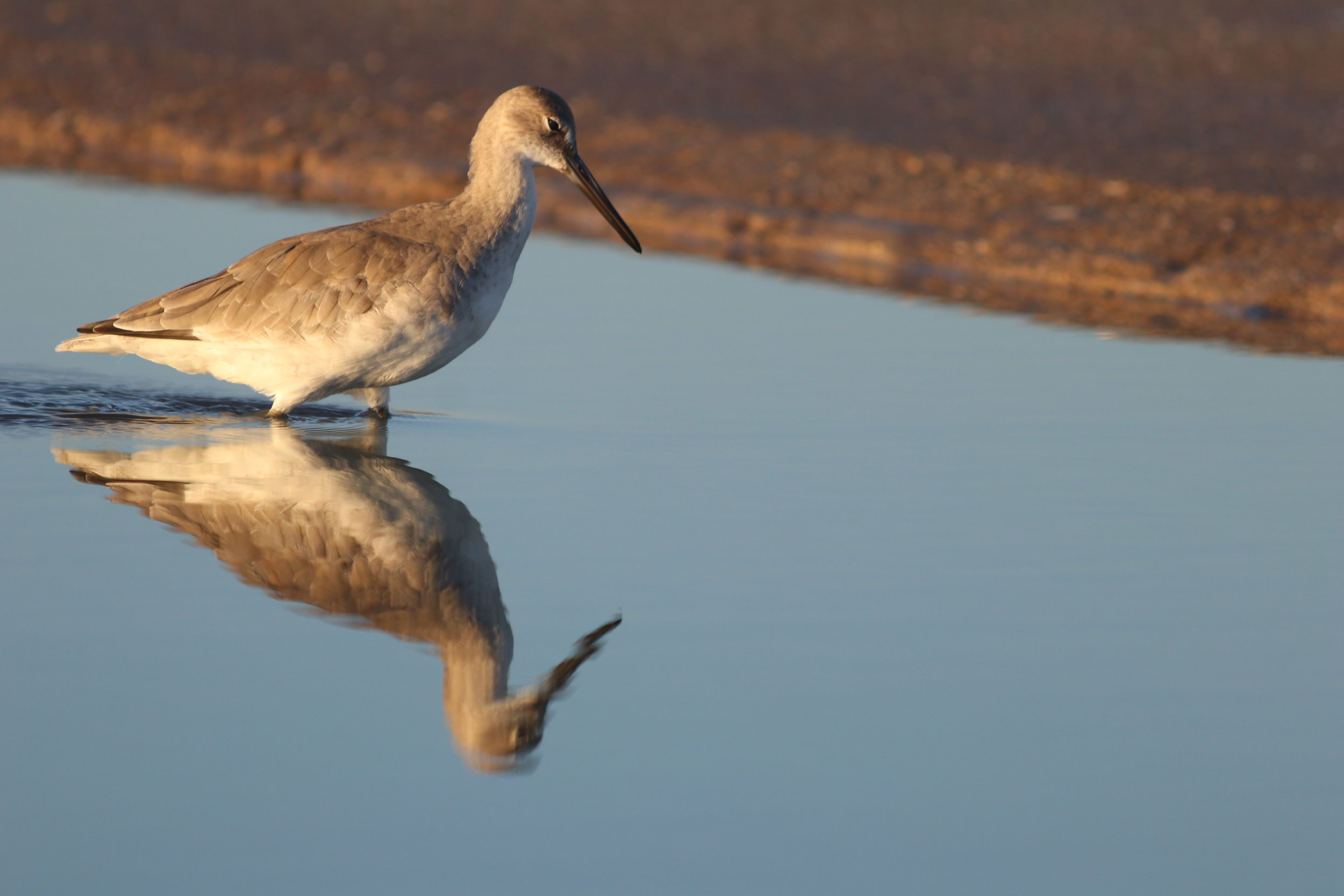 Serene Willy the Willet