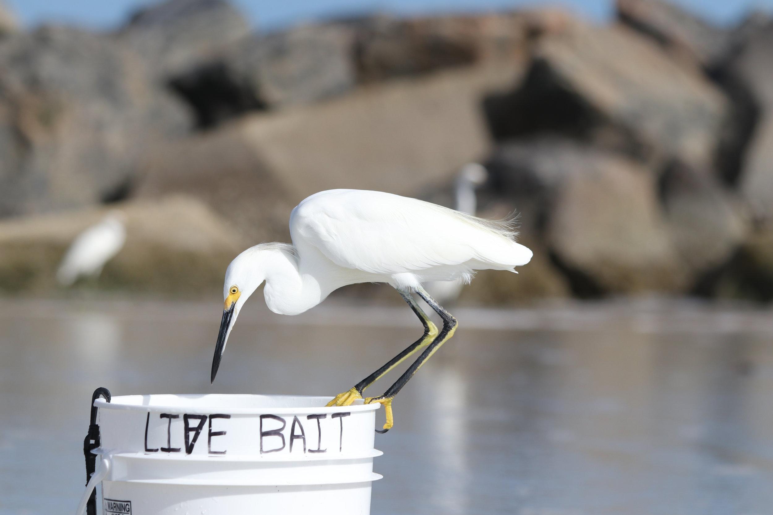 Life ~ Live bait
