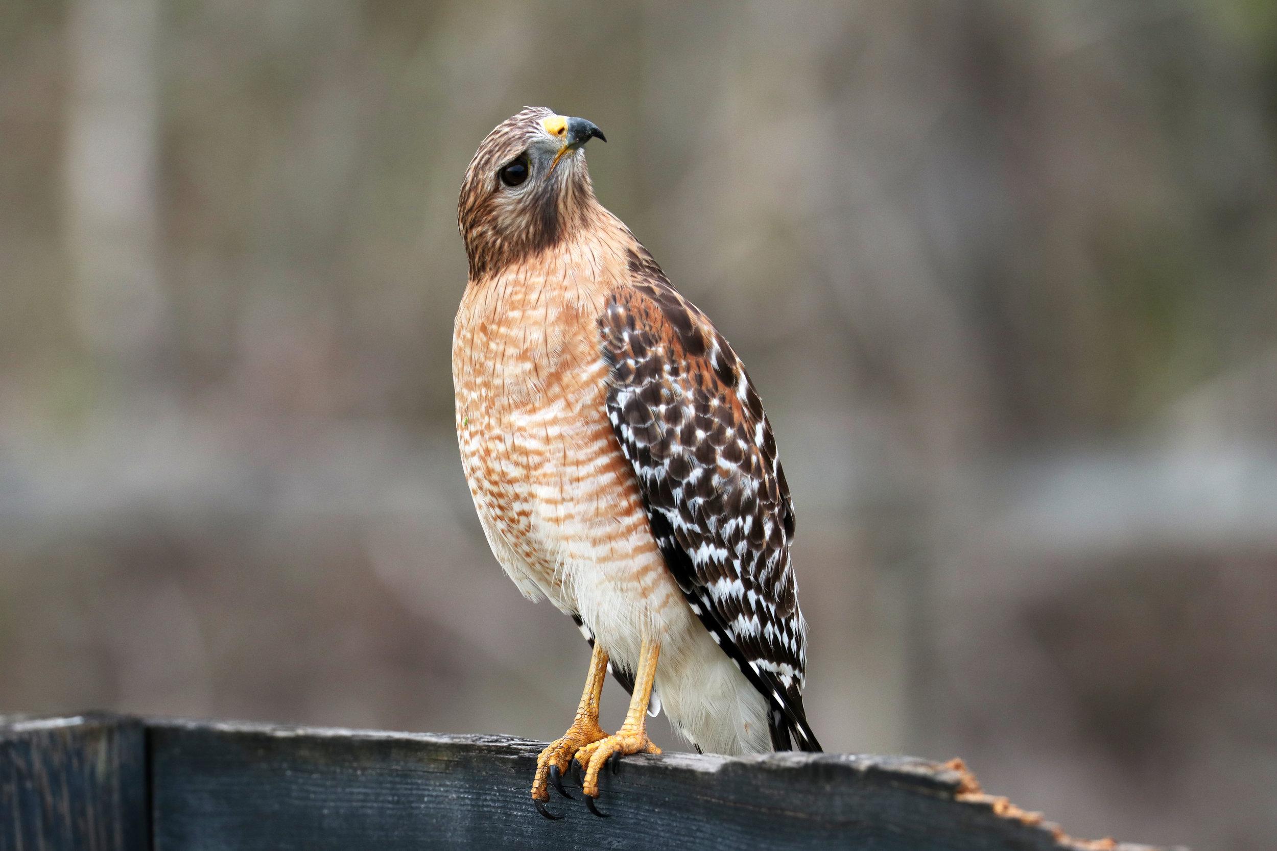 You speak hawk?