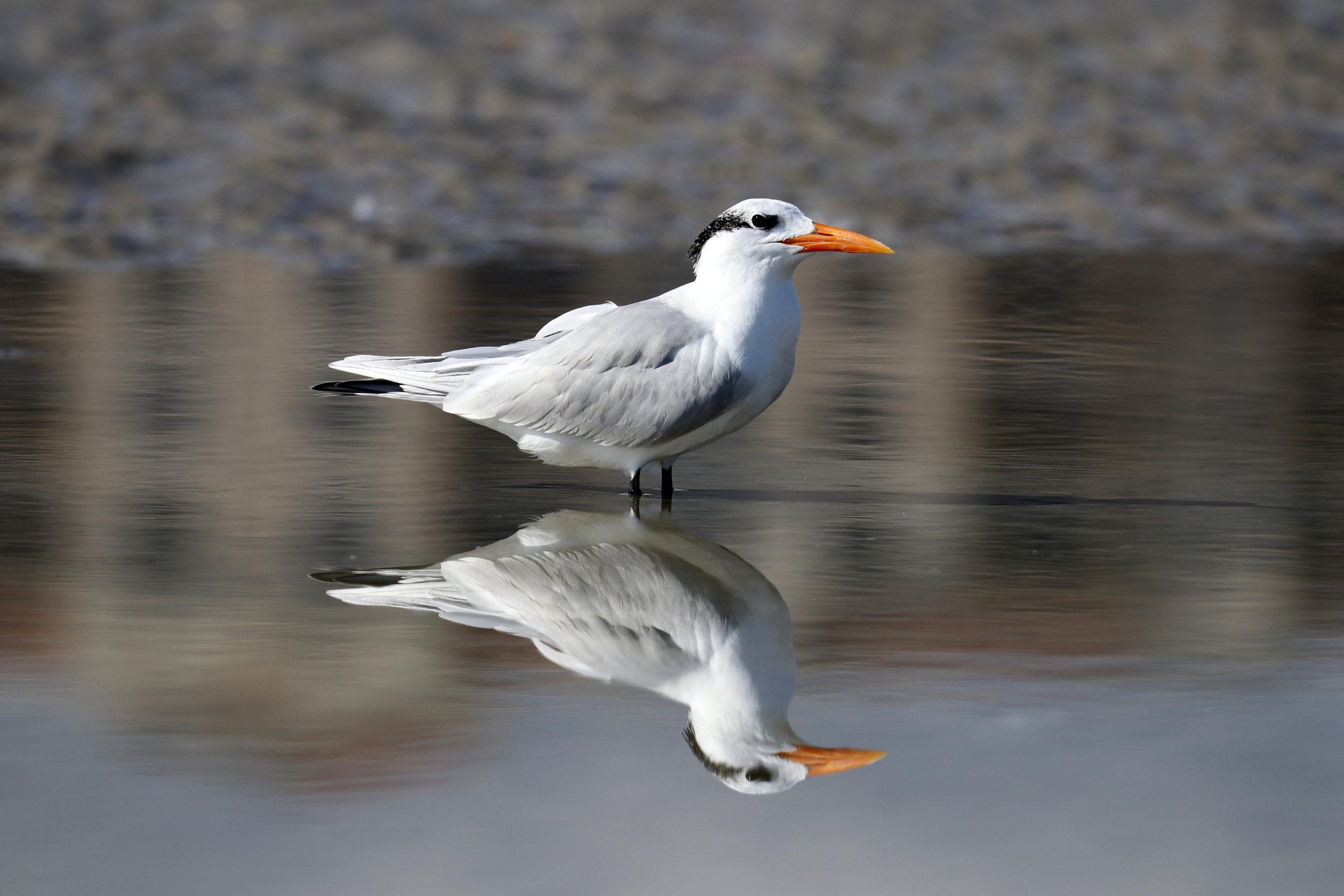 Despacito the Royal Tern
