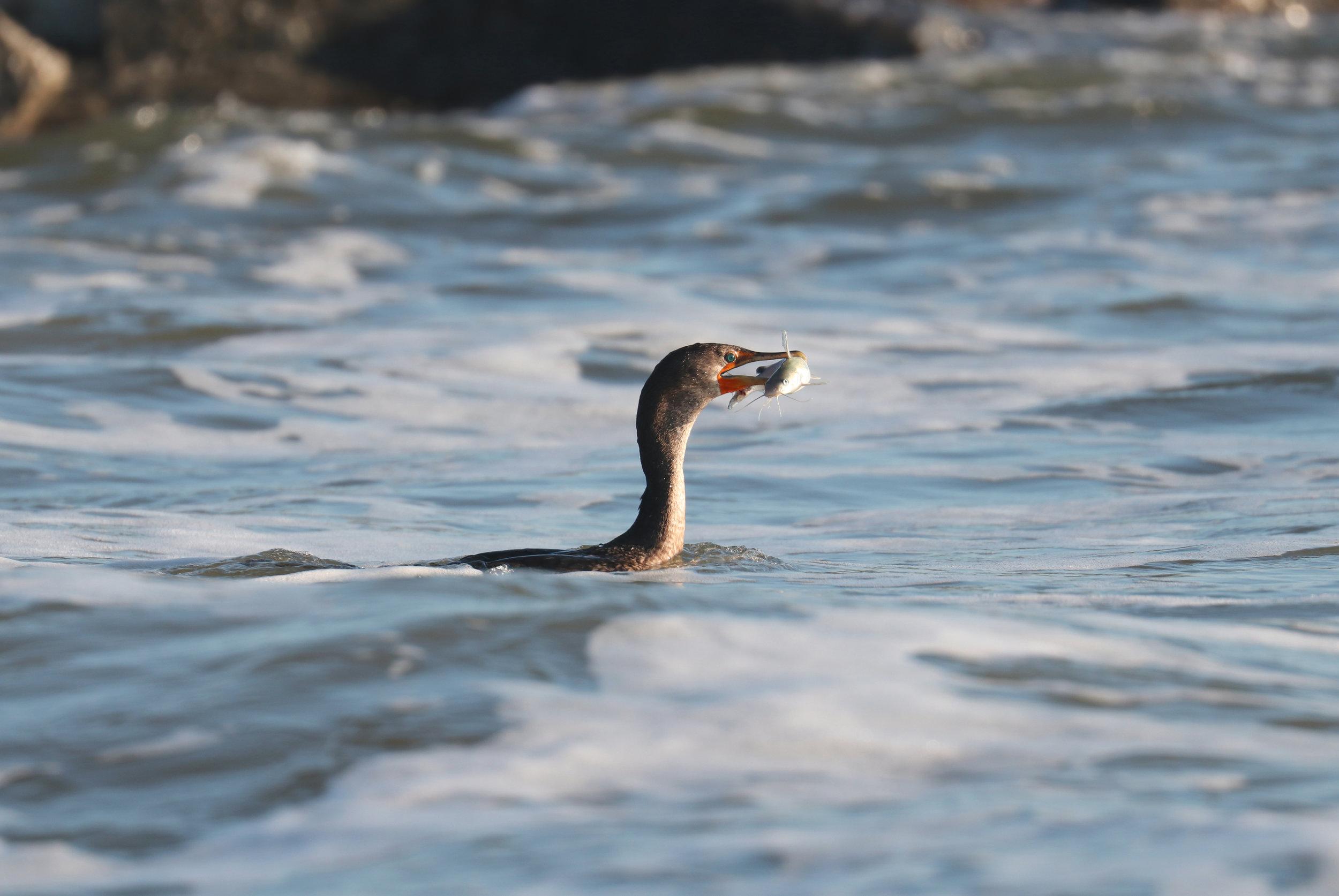 Proud cormorant