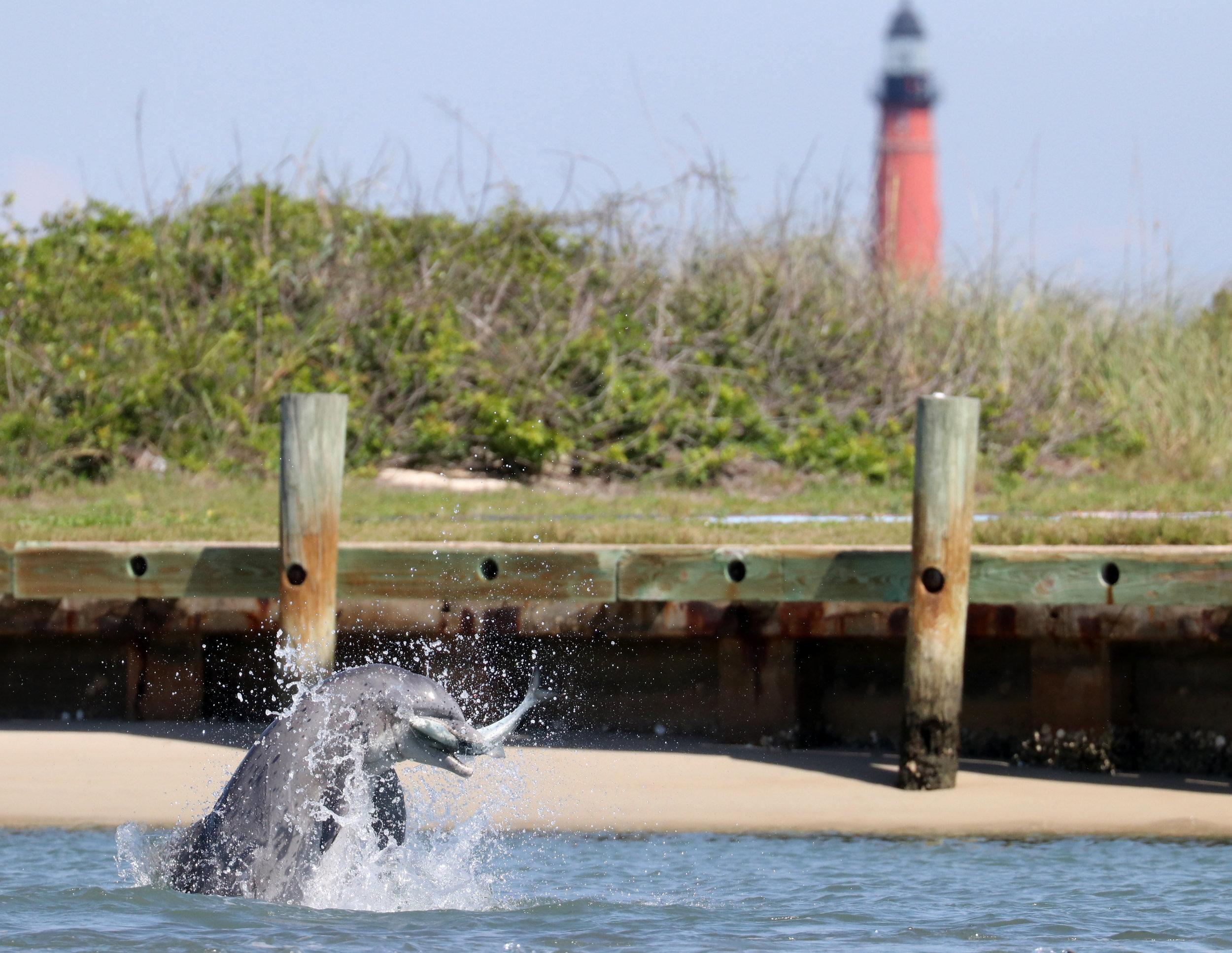 Dolphins love New Smyrna Beach