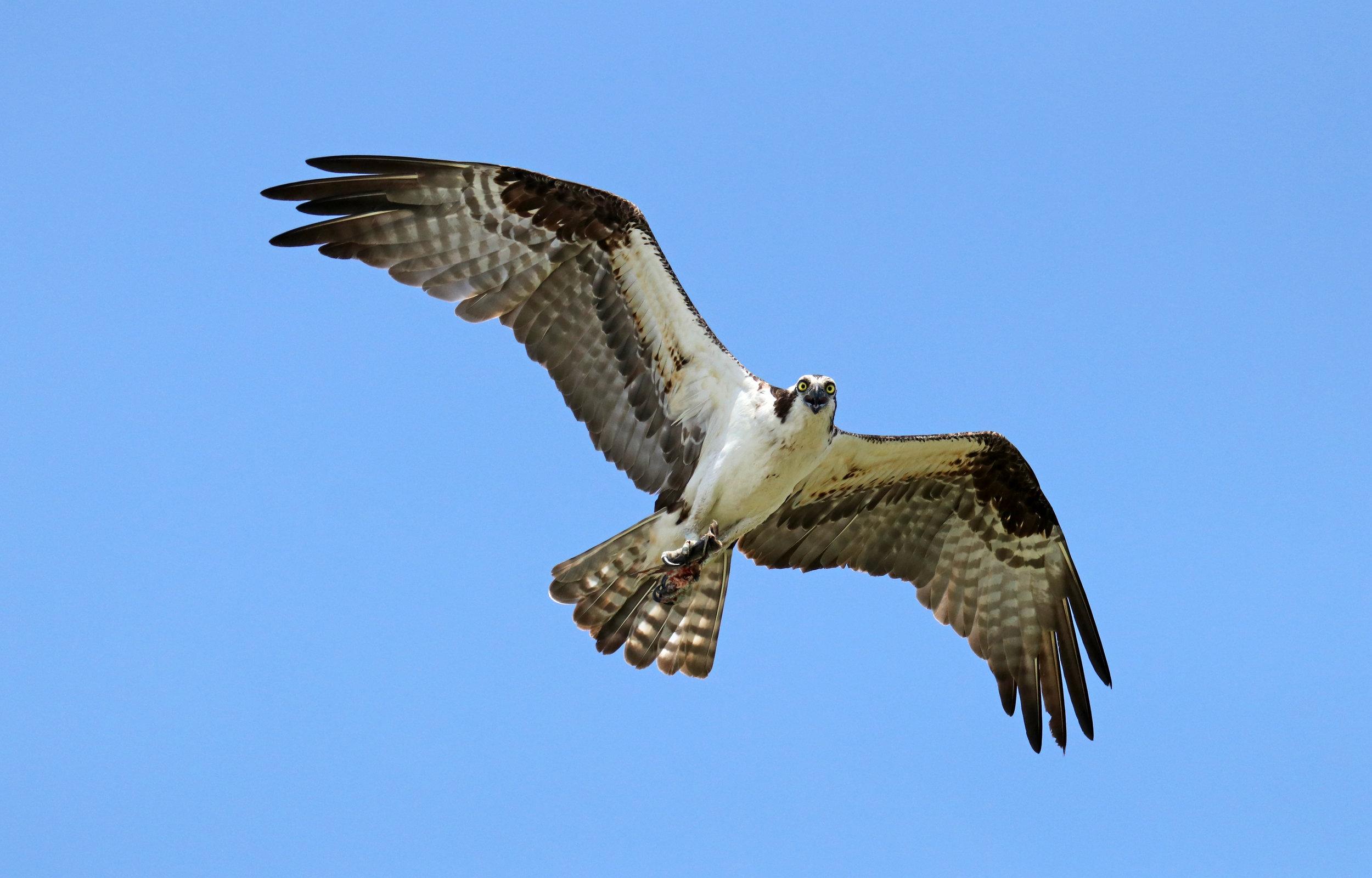 Cranky Osprey