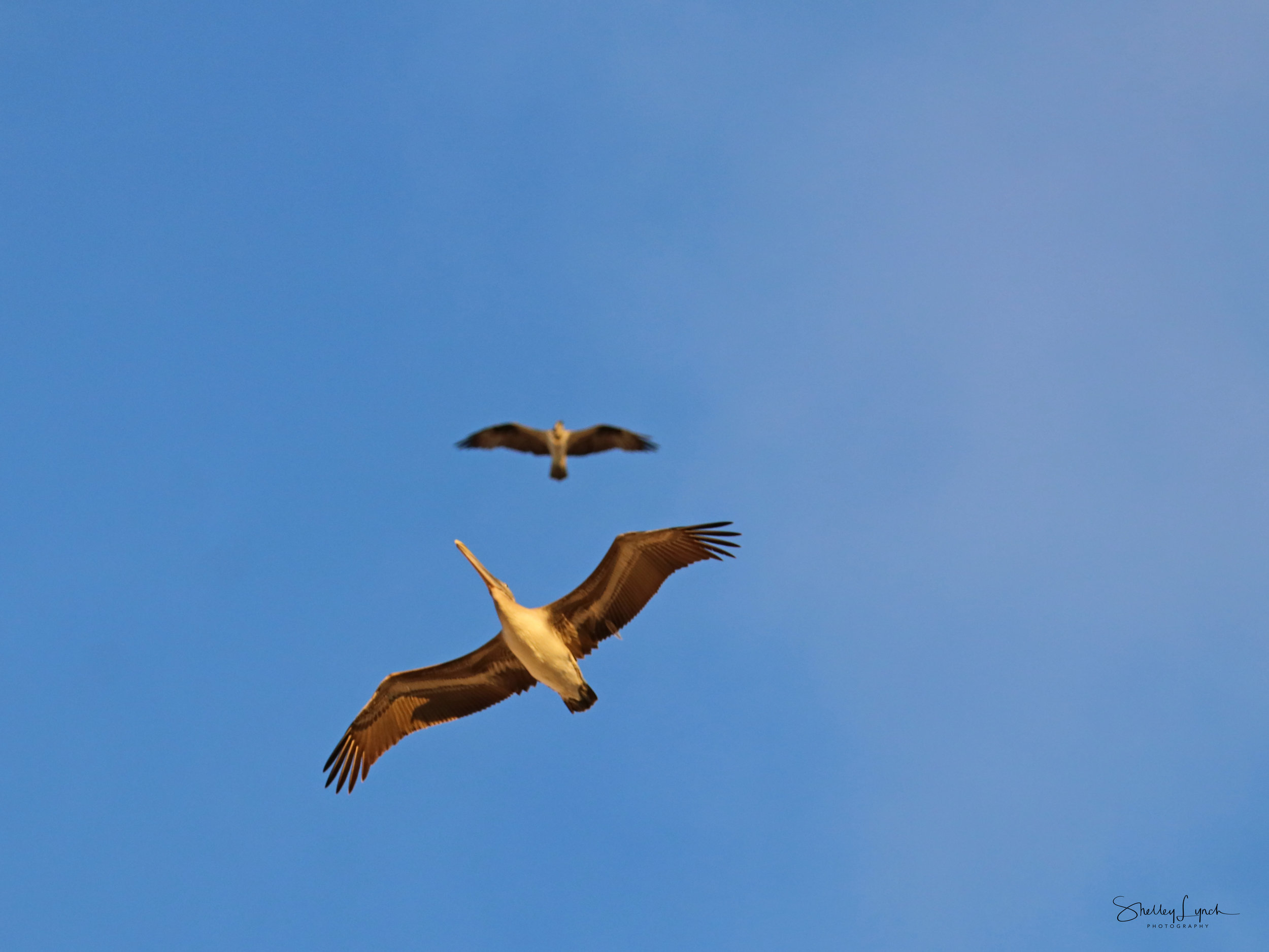 A pelican and osprey enjoying the thermals.