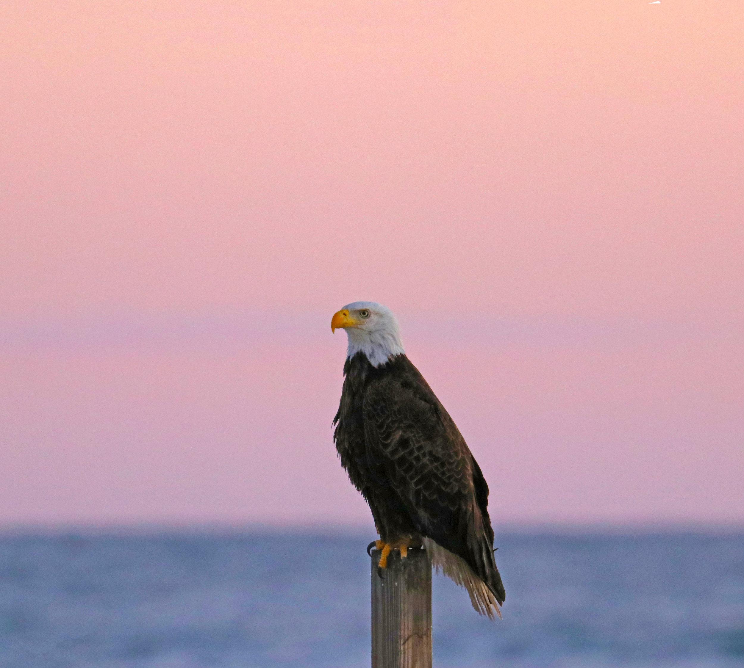 An Eagle Sunrise