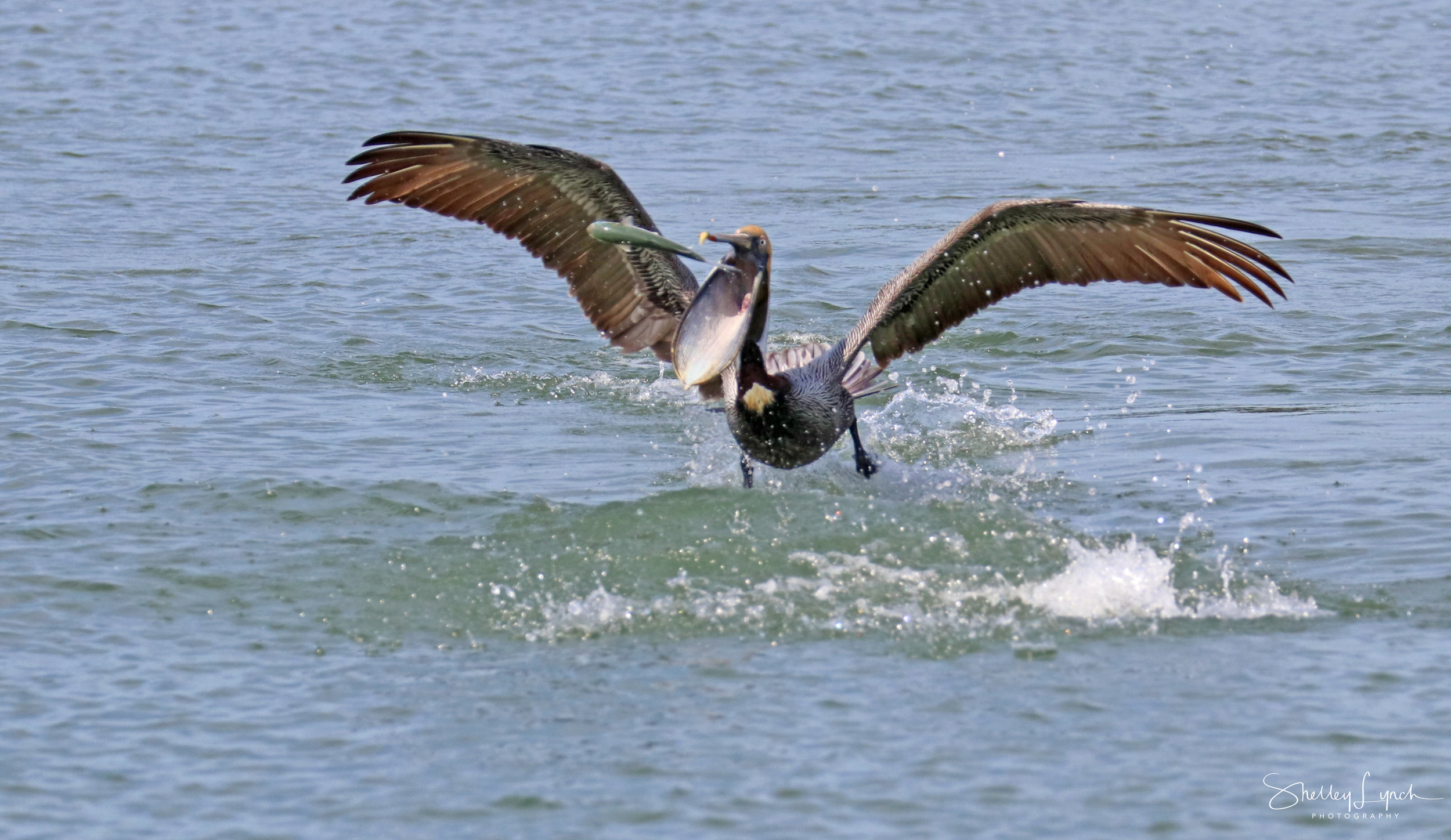 A dolphin threw this fish to the pelican.