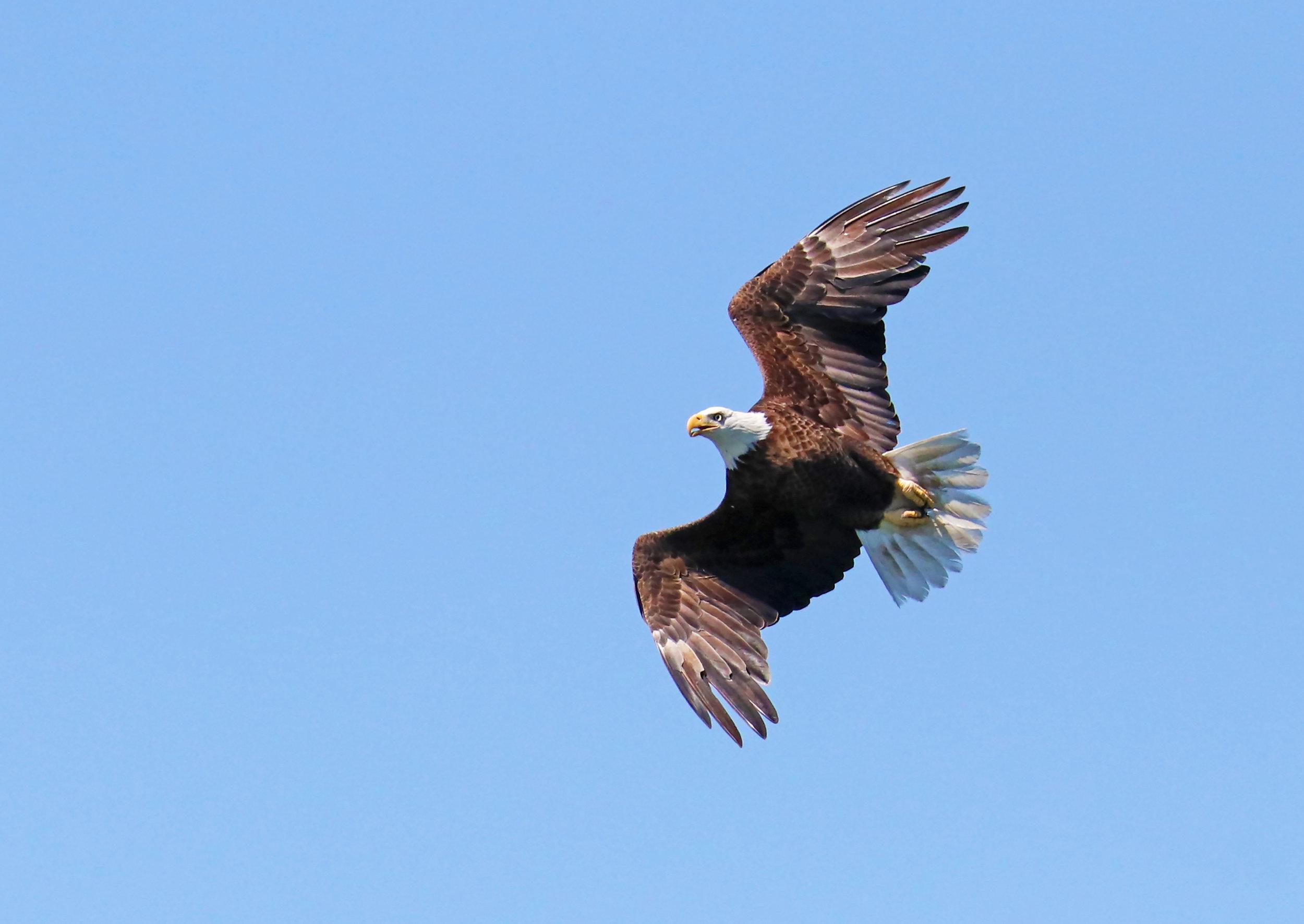 Flight of an eagle