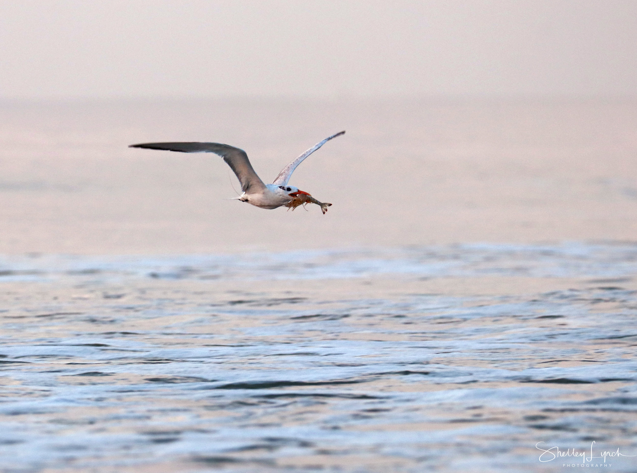 Royal Tern bringing us the shrimp message and breakfast