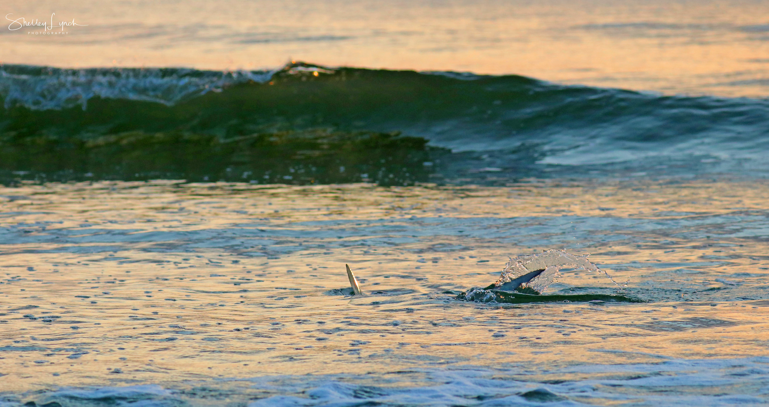 Shark changing directions on a dime…..Gulp :)