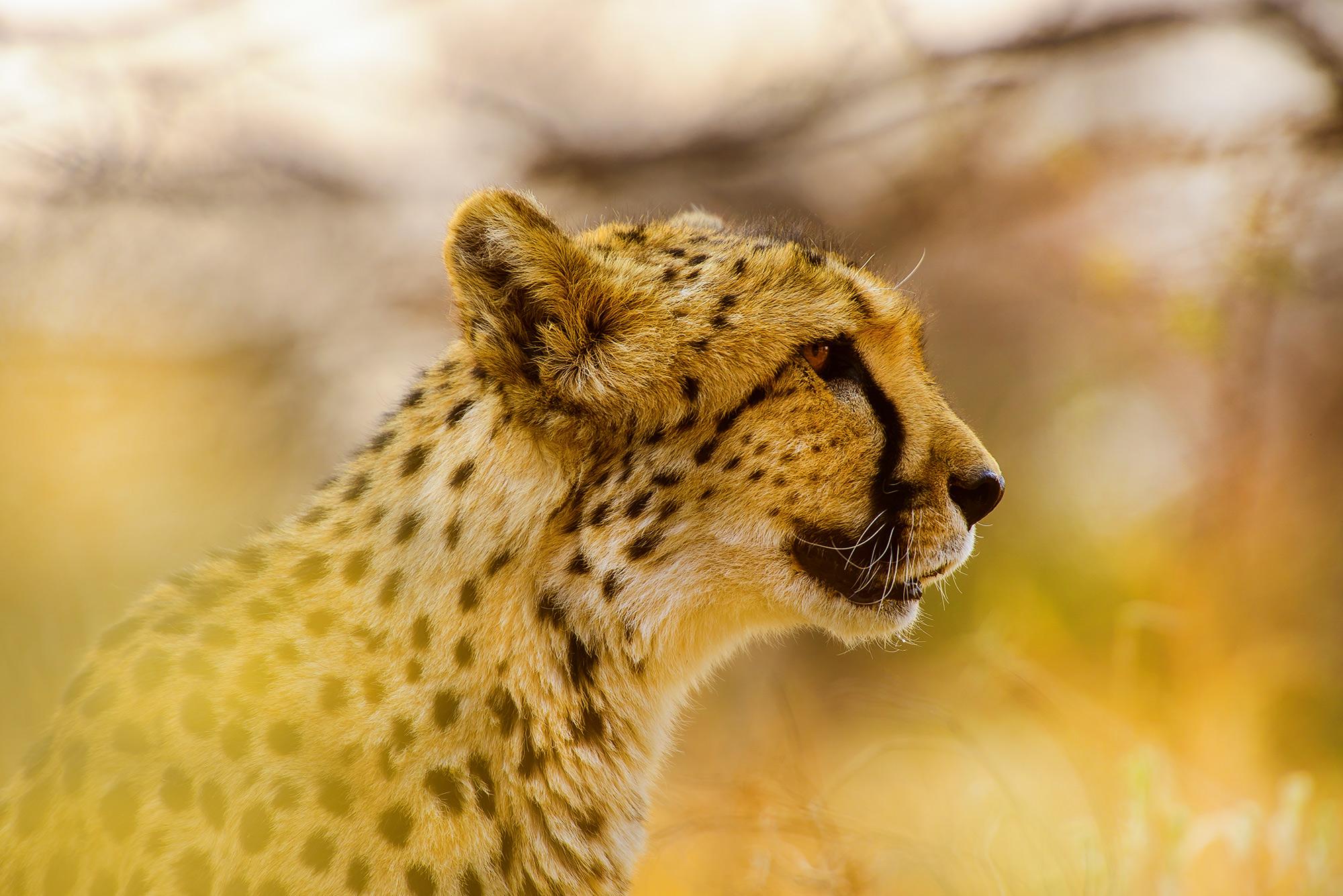 Cheetah-Profile.jpg