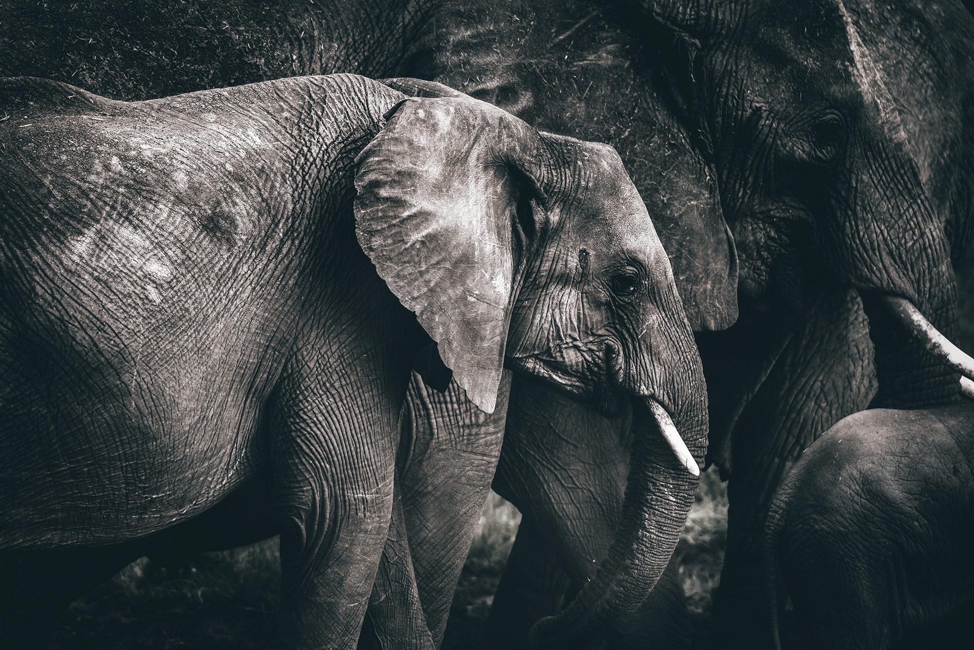Serengeti-Elephant-2019.jpg
