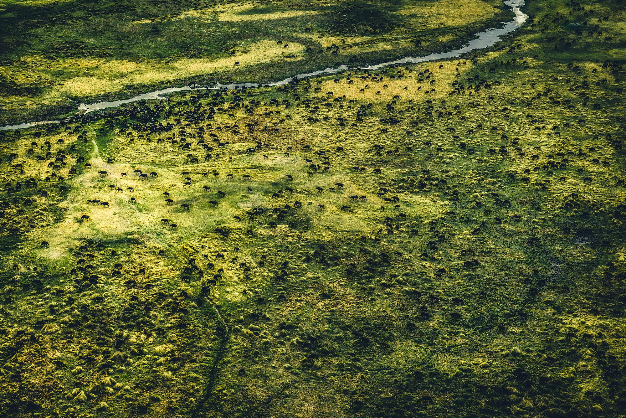 Okavango-Buffalos.jpg