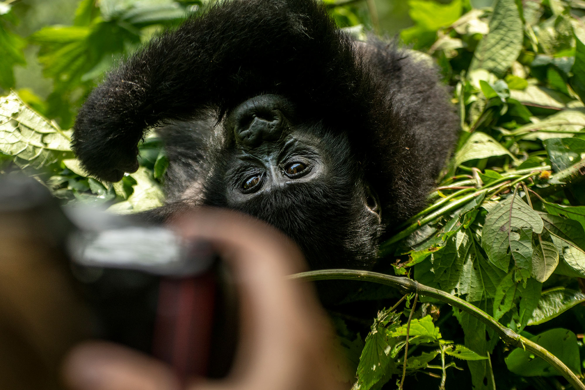 gorilla-baby-africa-rainforest-with-camera-tourist.jpg